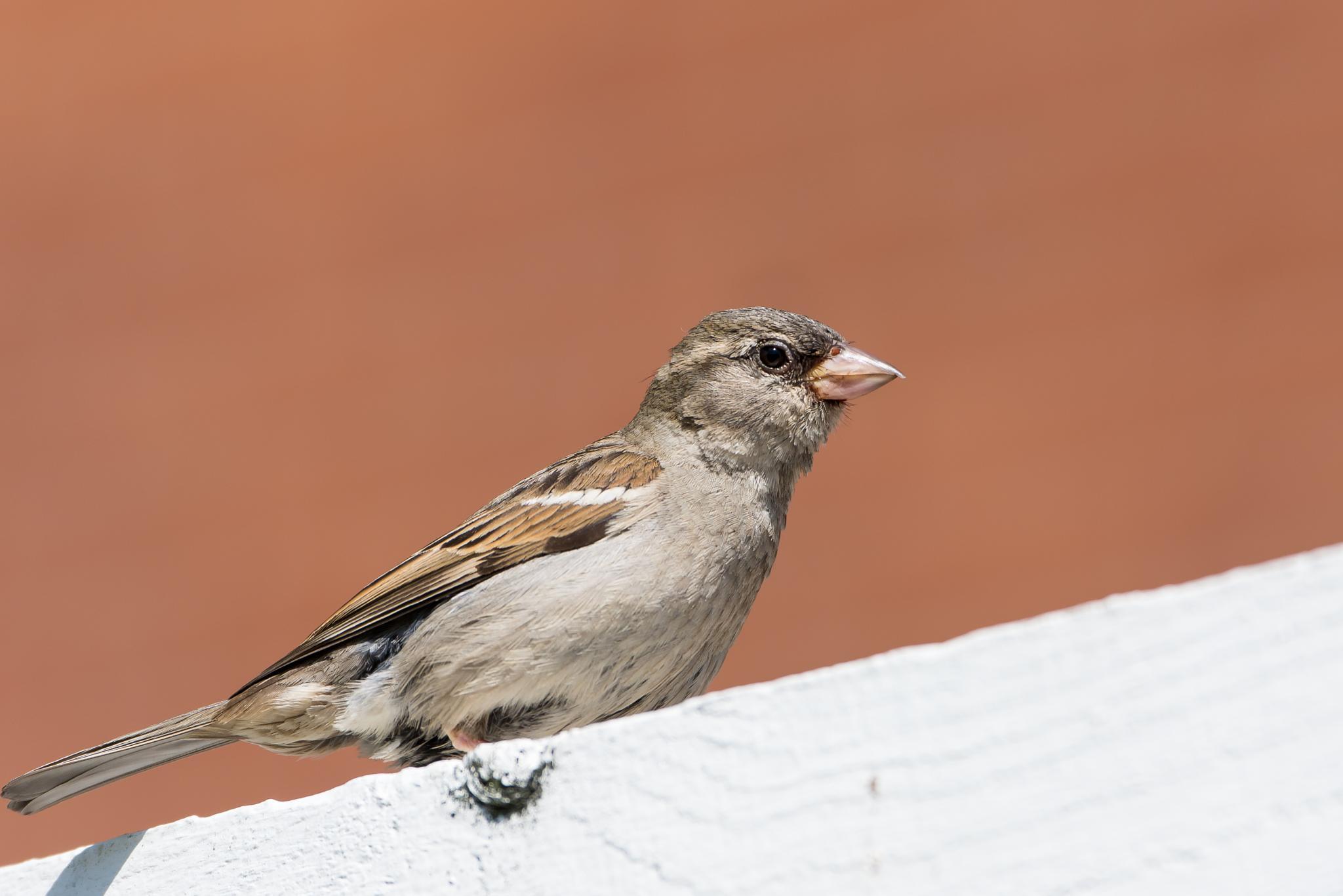 Photo in Animal #house sparrow #bird #nature