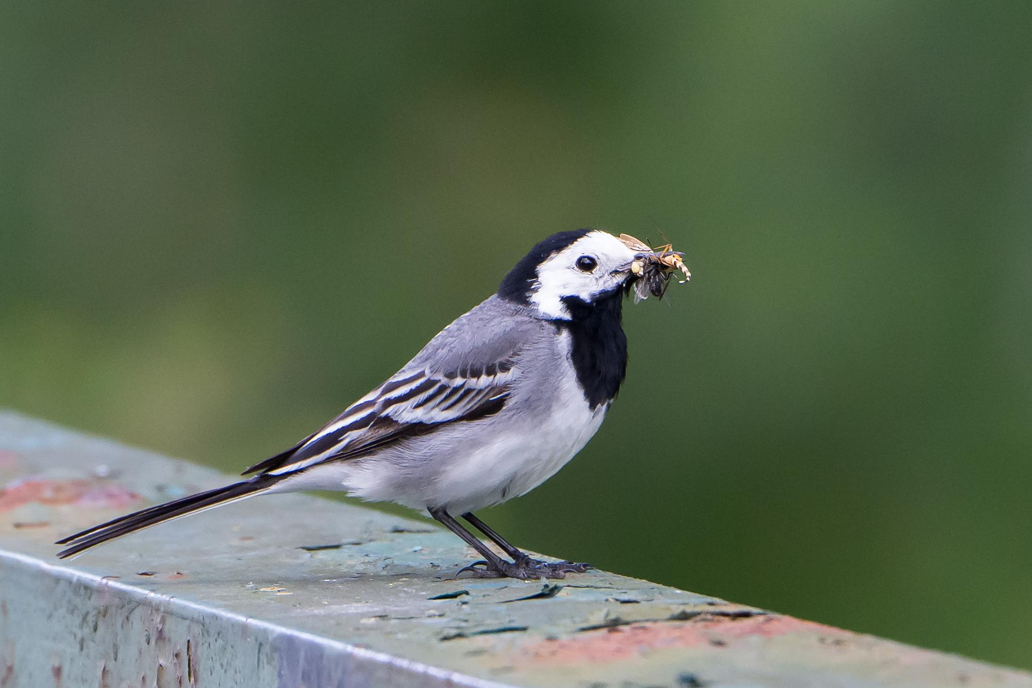 Photo in Animal #wagtail #bird #nature