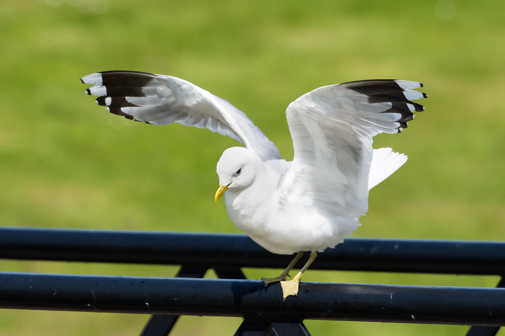 Photo in Animal #seagull #gull #bird #nature