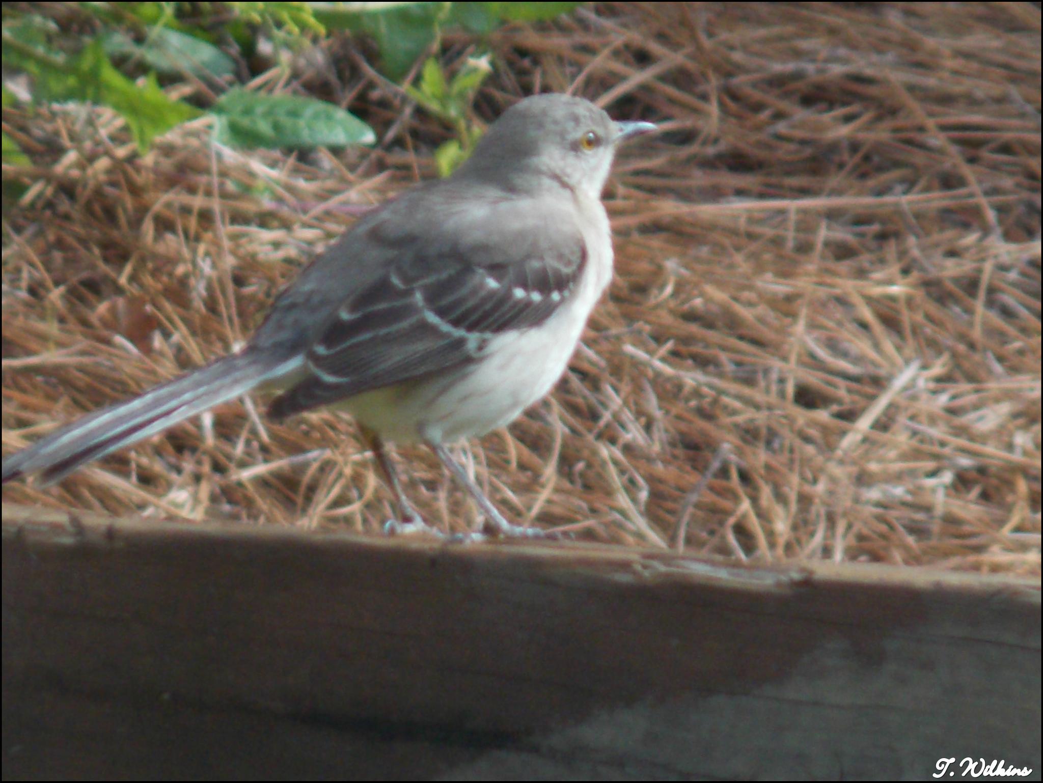Mocking Bird by tony.wilkins.37