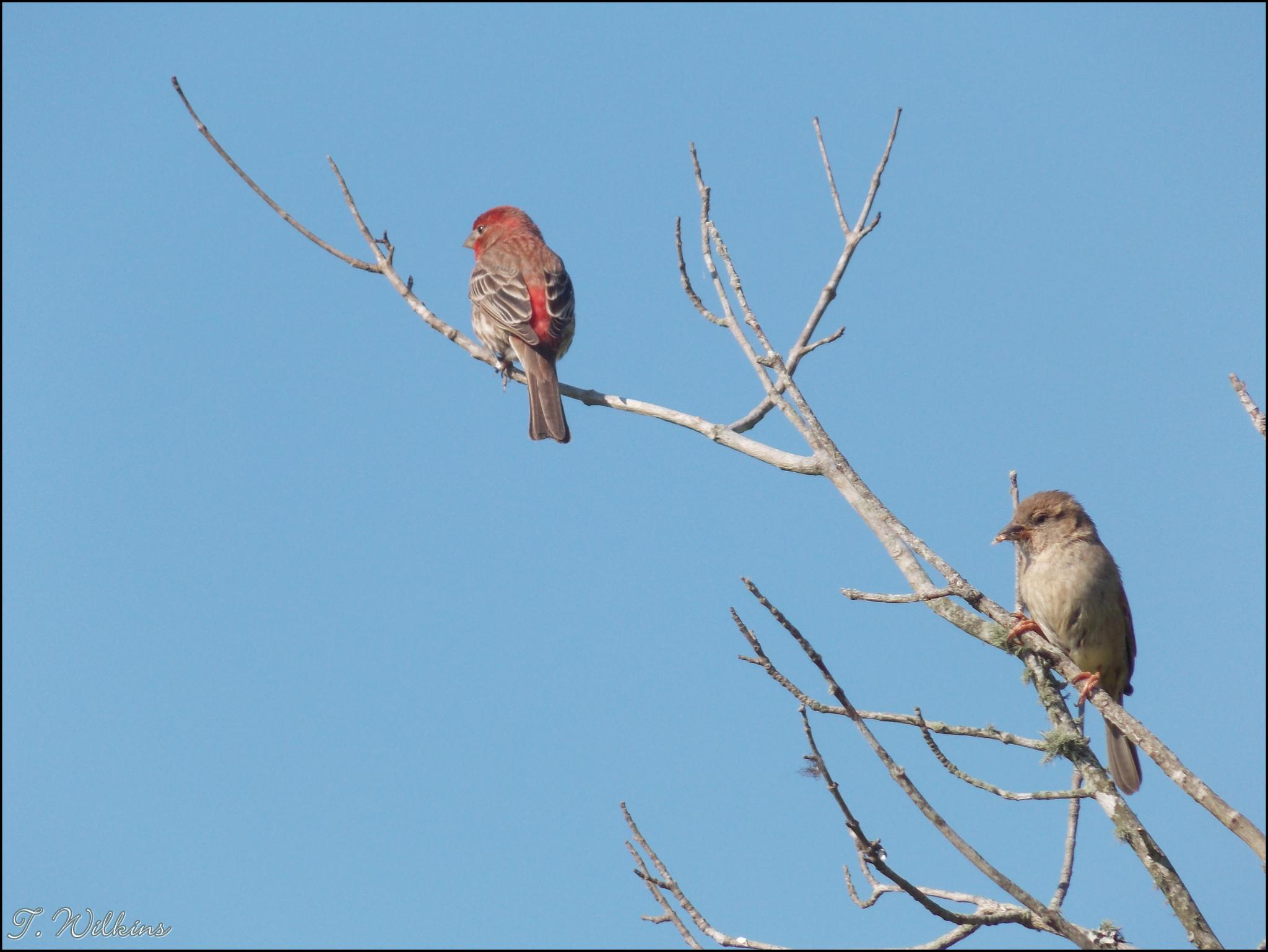 Male and Female House Finch by tony.wilkins.37
