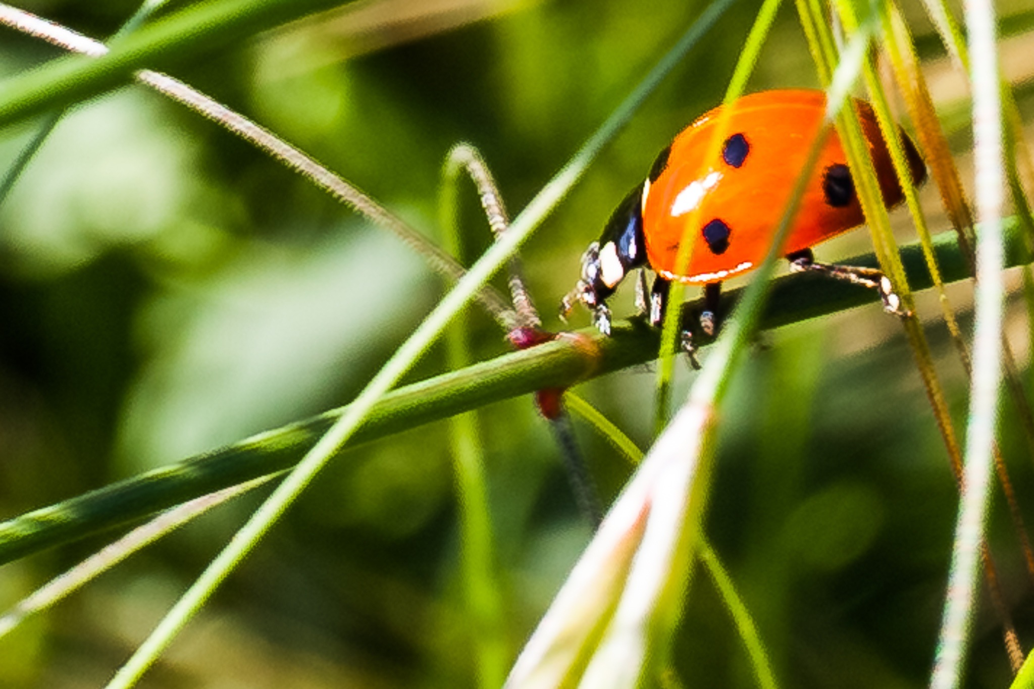 Lady Bug by paolo cancelliere