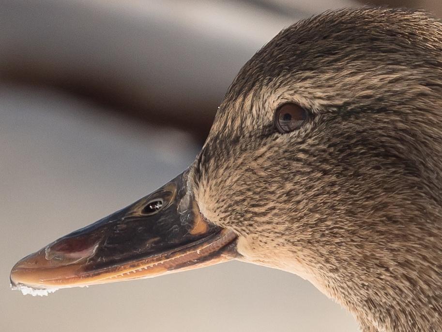 Duck by olof.rosenius