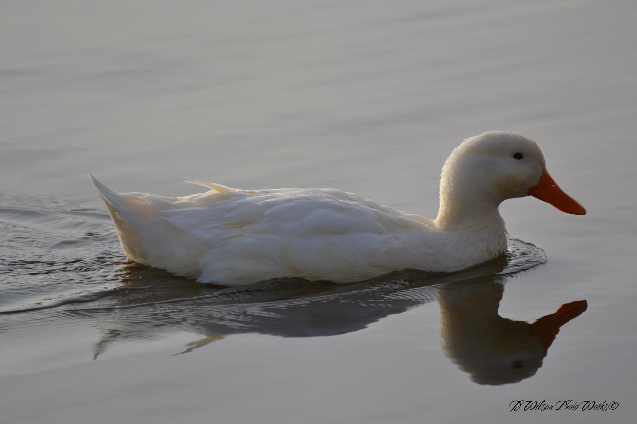 Pekin Duck by Debbie Wilson
