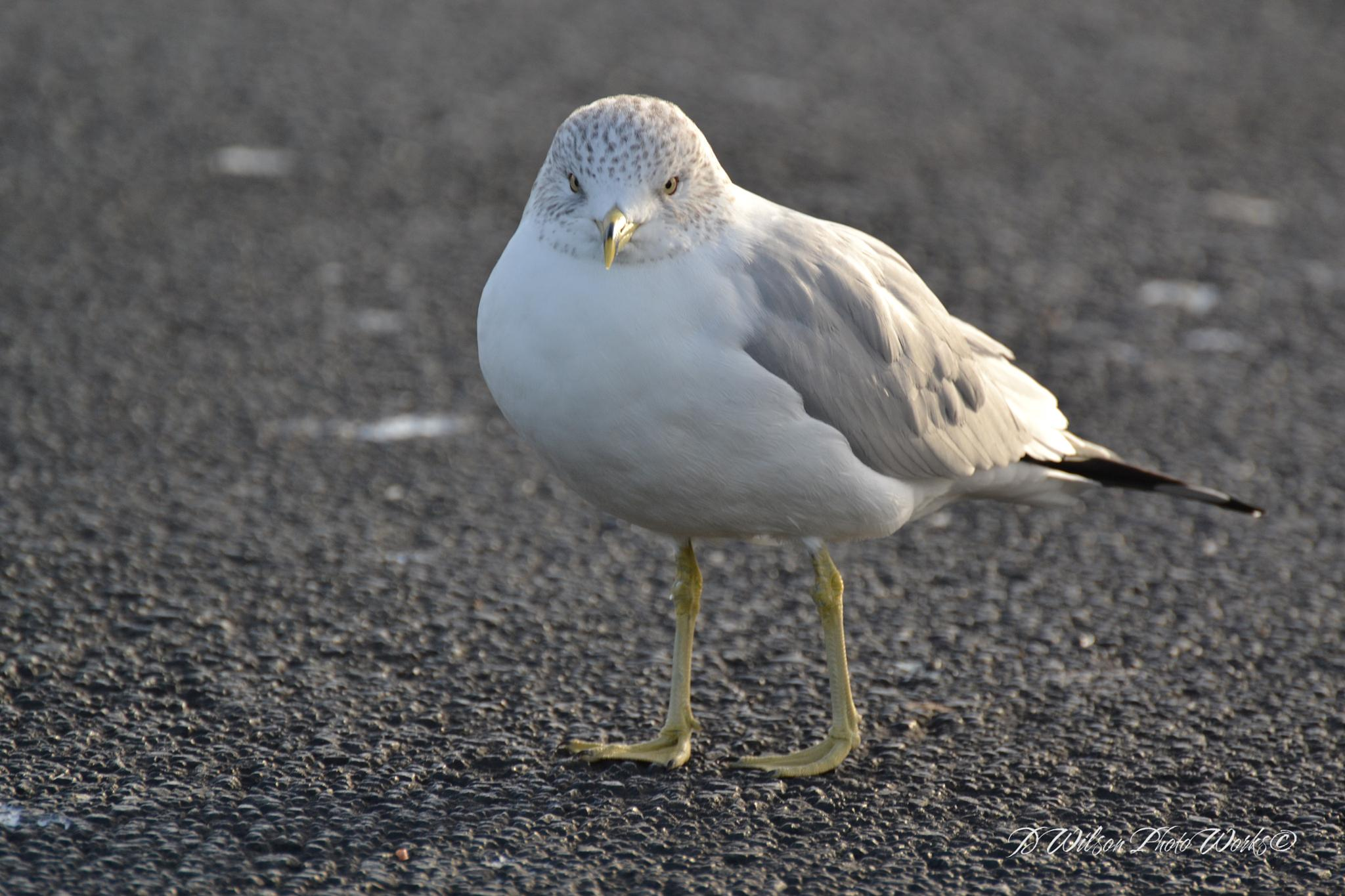River Gull by Debbie Wilson