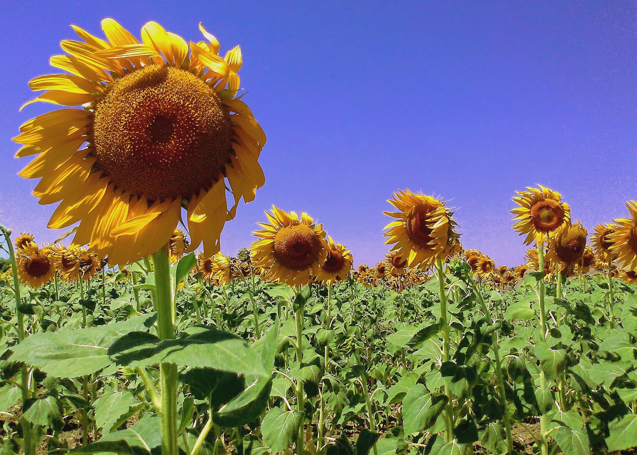 Sunflower. by massimo.fior.5