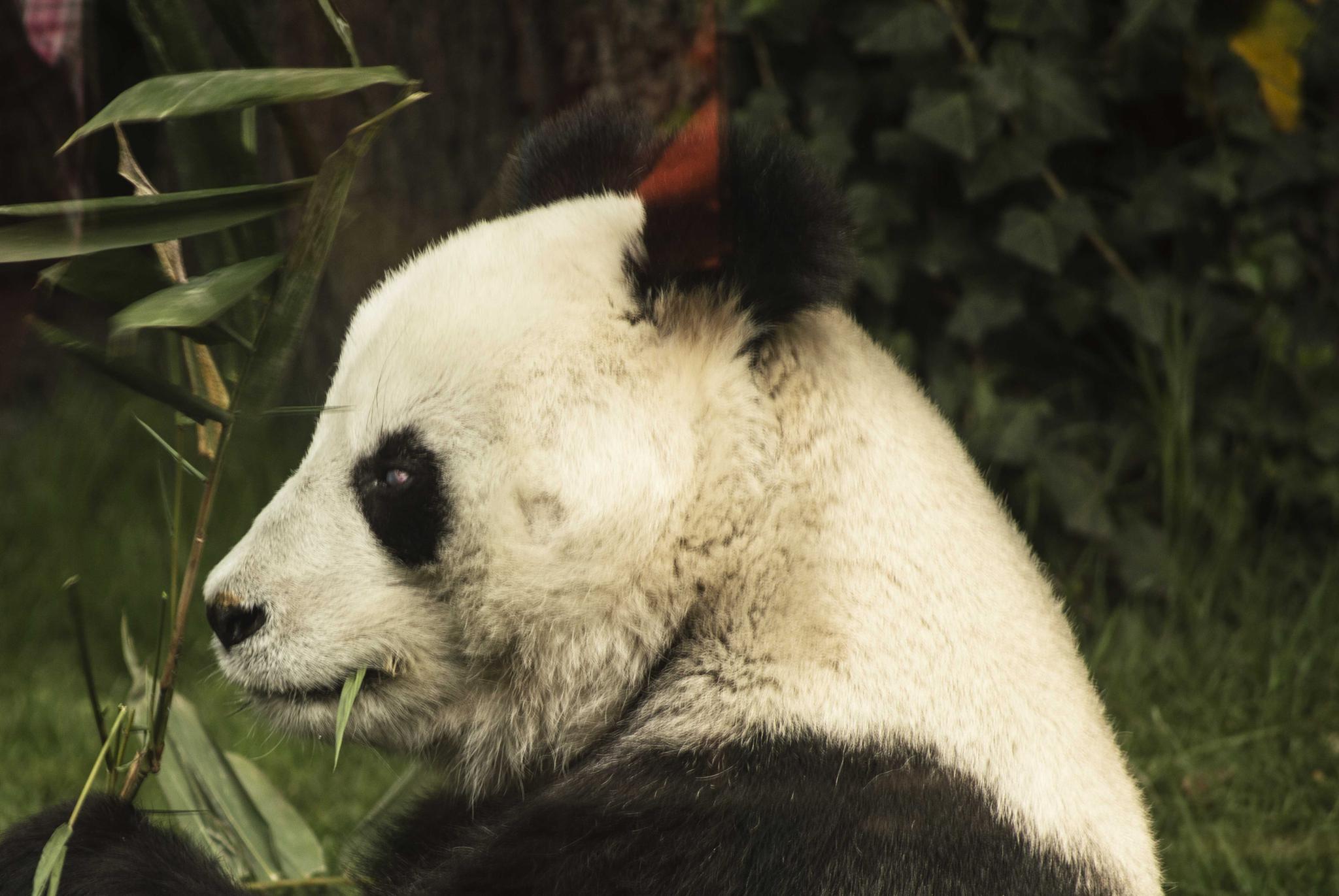 Panda by Fernando