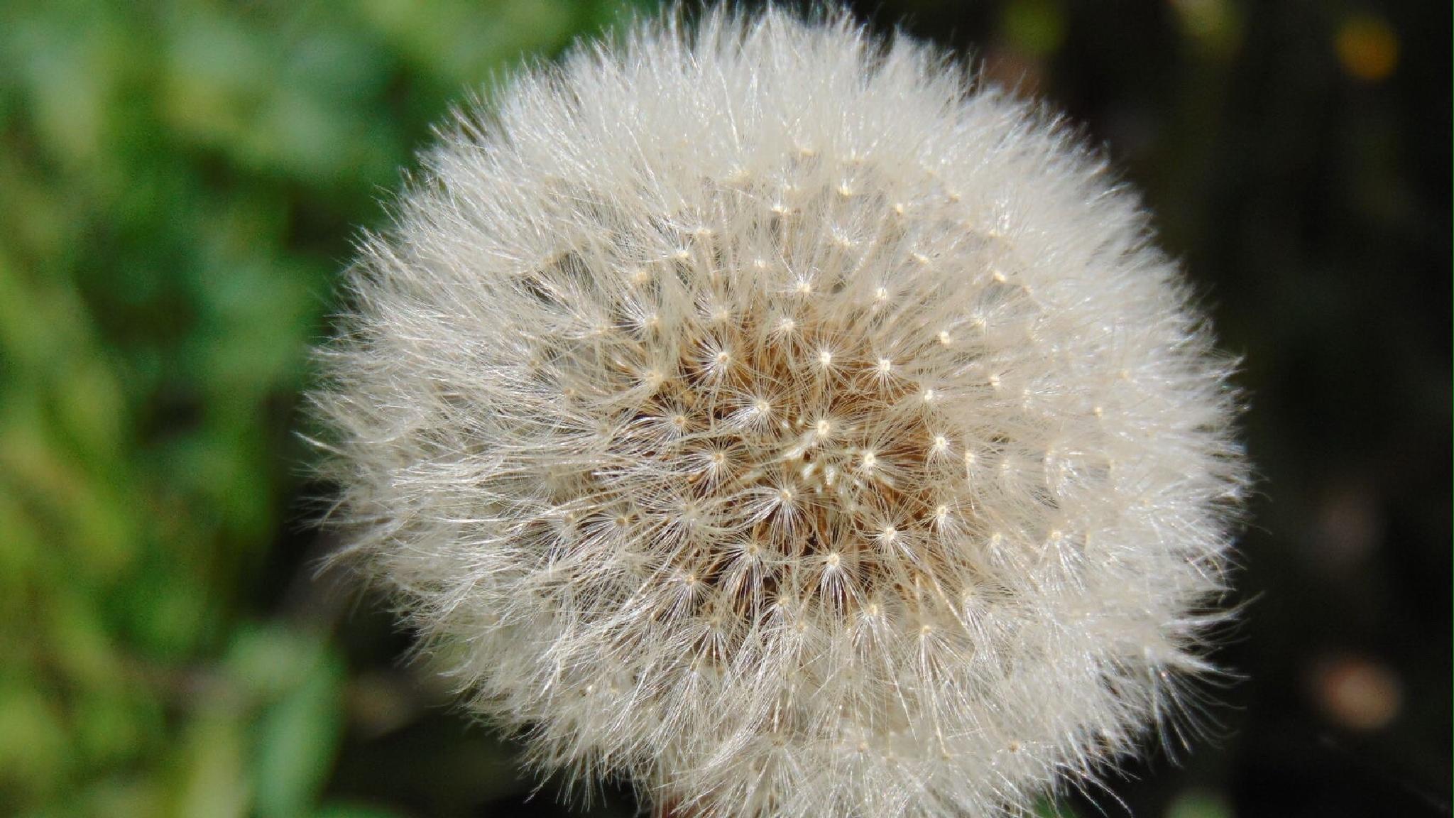 Dandelion in full seed by shaunarwhitaker