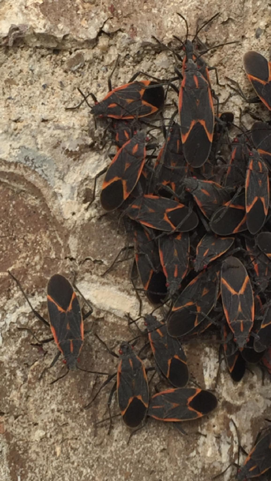 Box Elder Bug Swarm by shaunarwhitaker