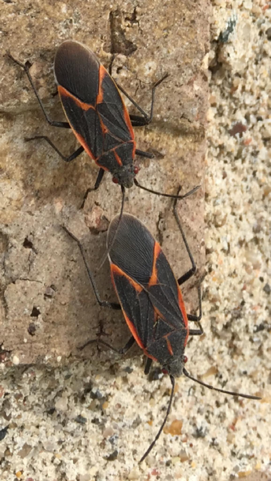 Box Elder Bugs by shaunarwhitaker