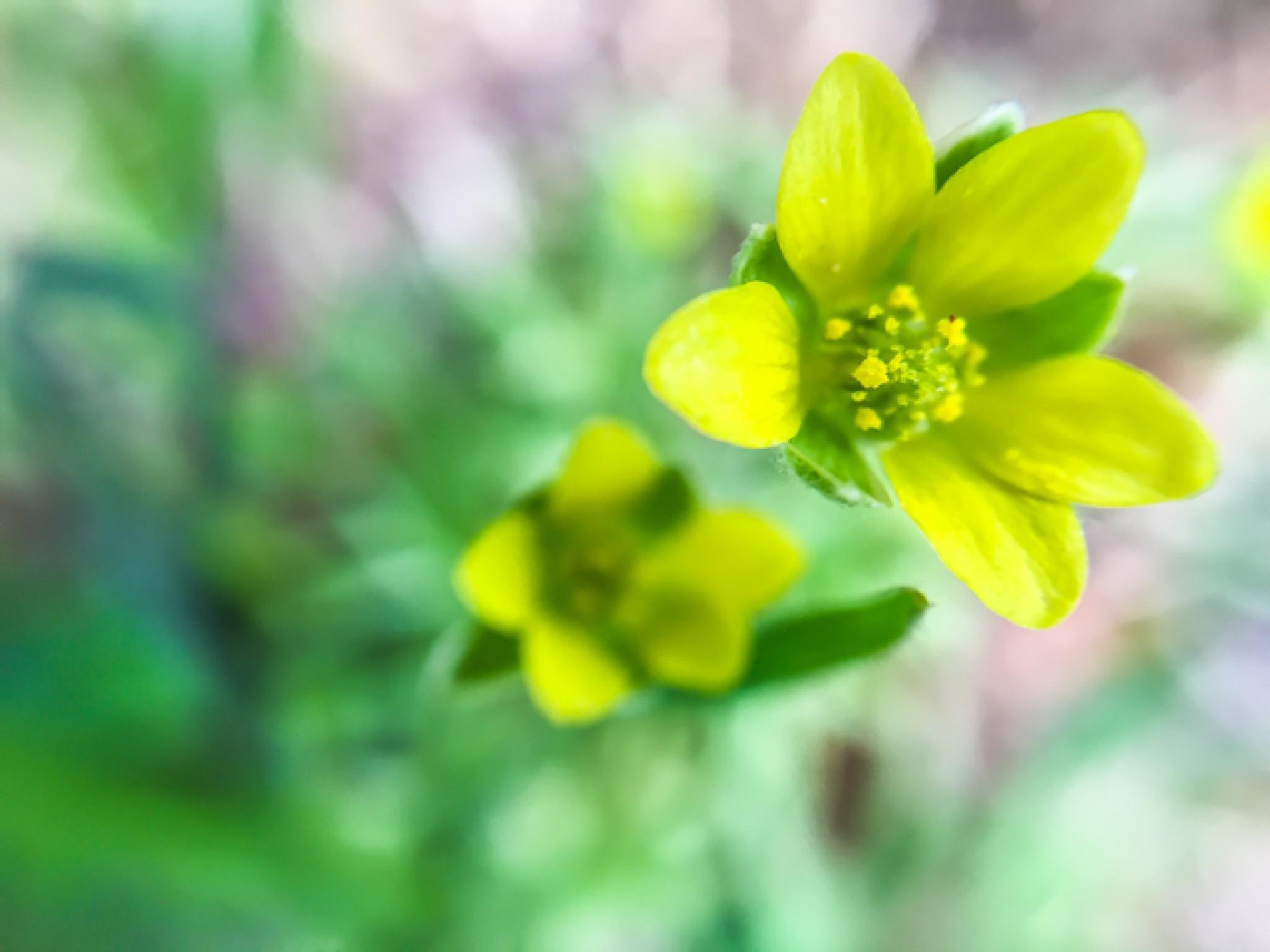 Yellow Bloom by shaunarwhitaker