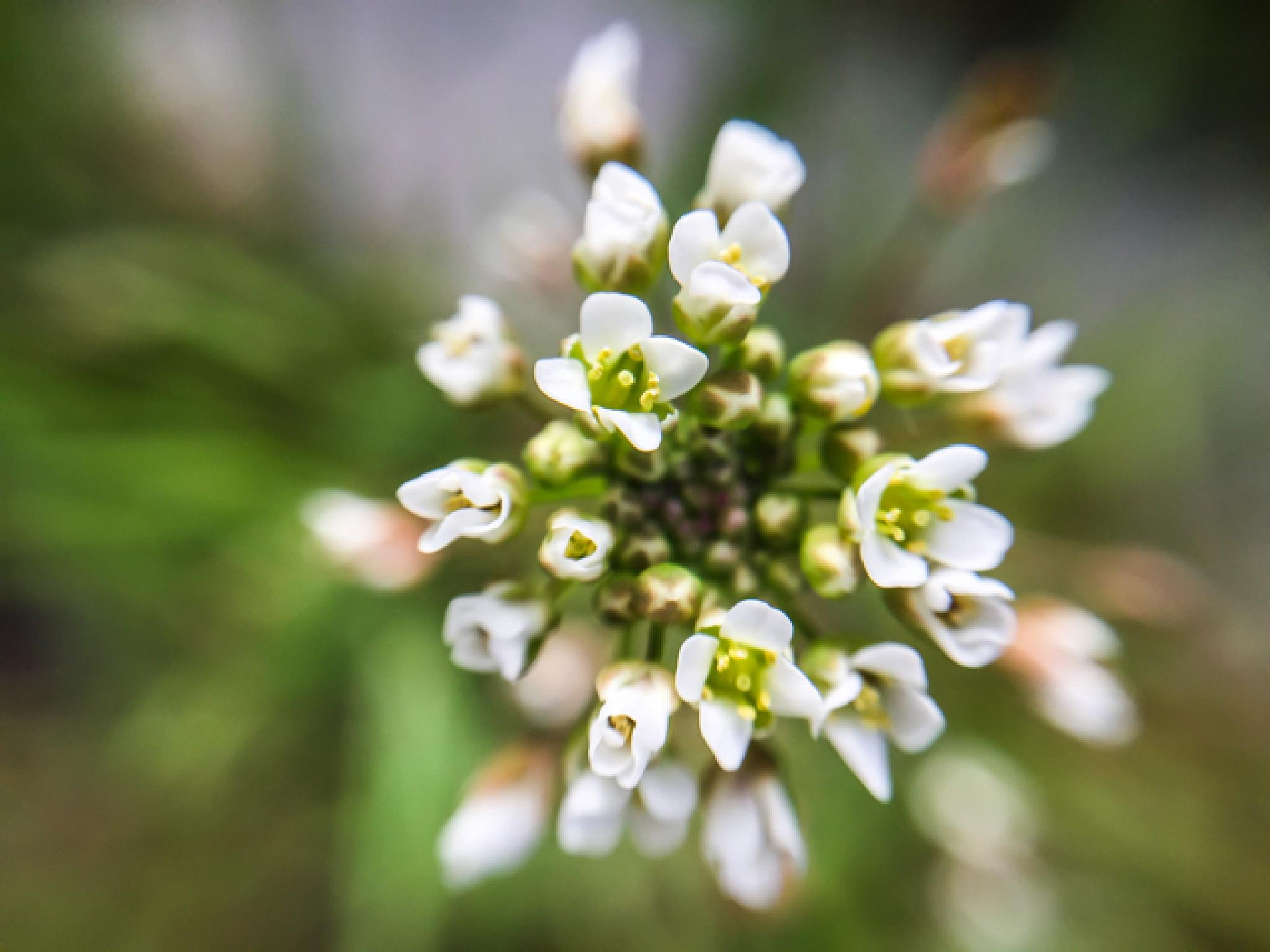 Tiny White Blooms by shaunarwhitaker