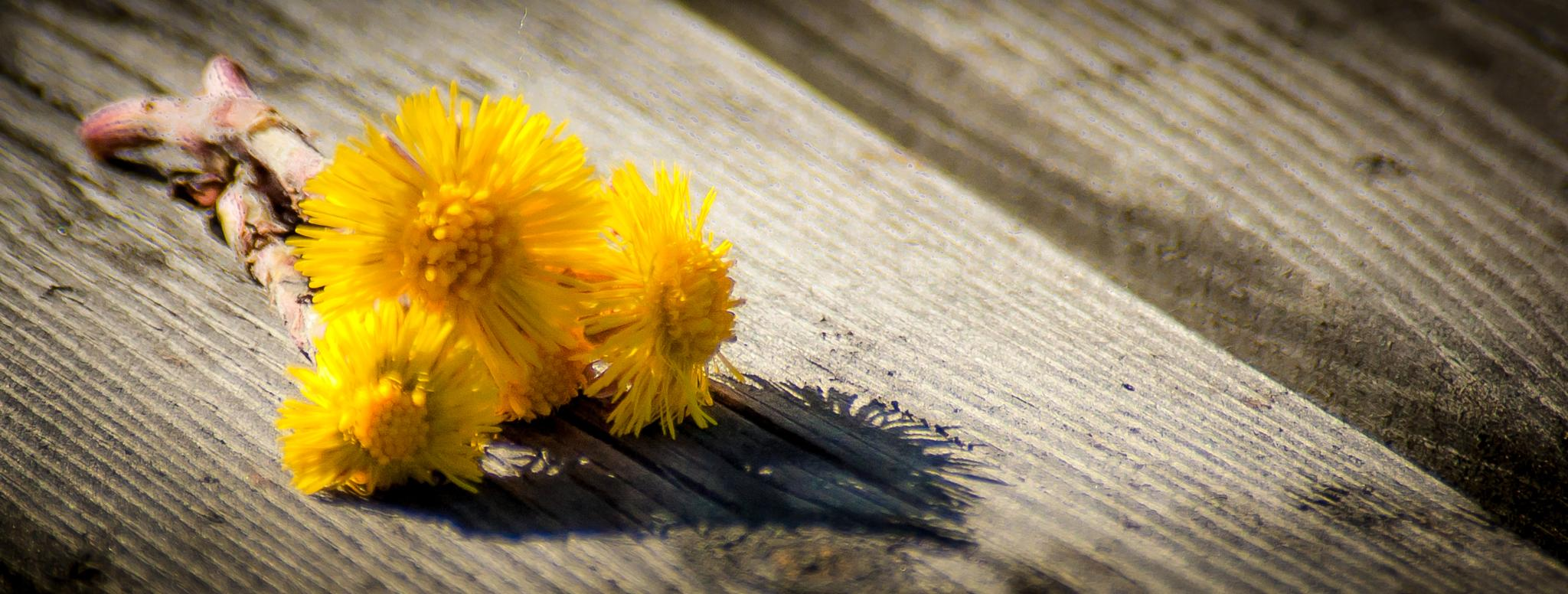 Dandelions by Carl Erik Tengesdal