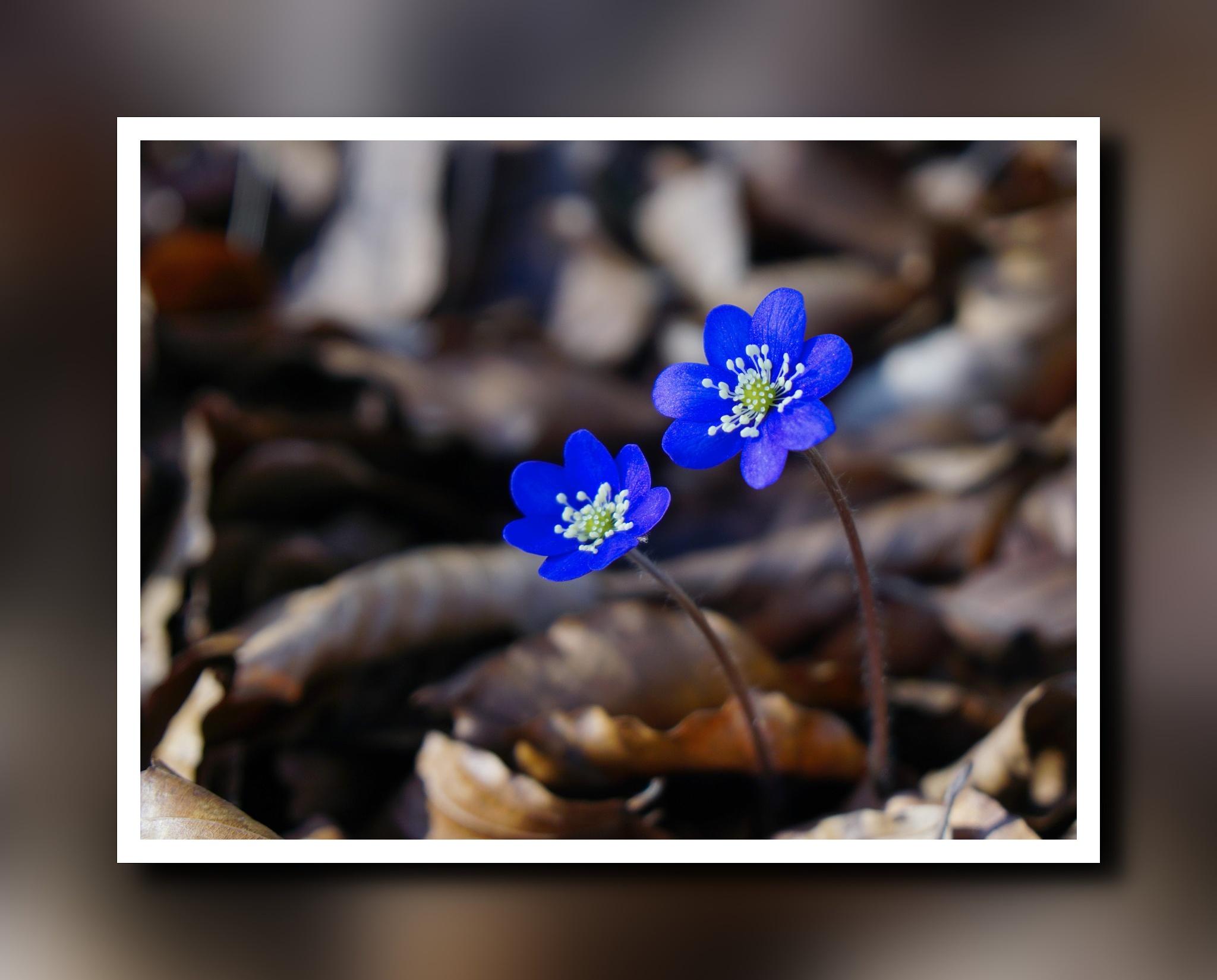 Blue anemones by Dorte Hedengran