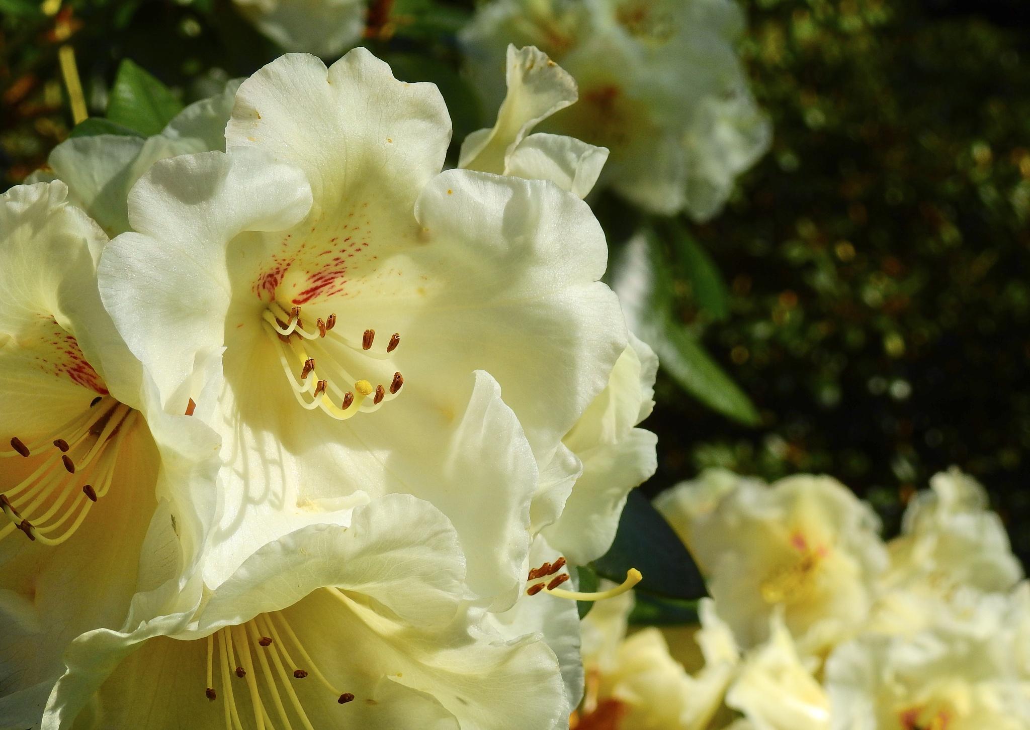 Rhododendrons  by Dorte Hedengran