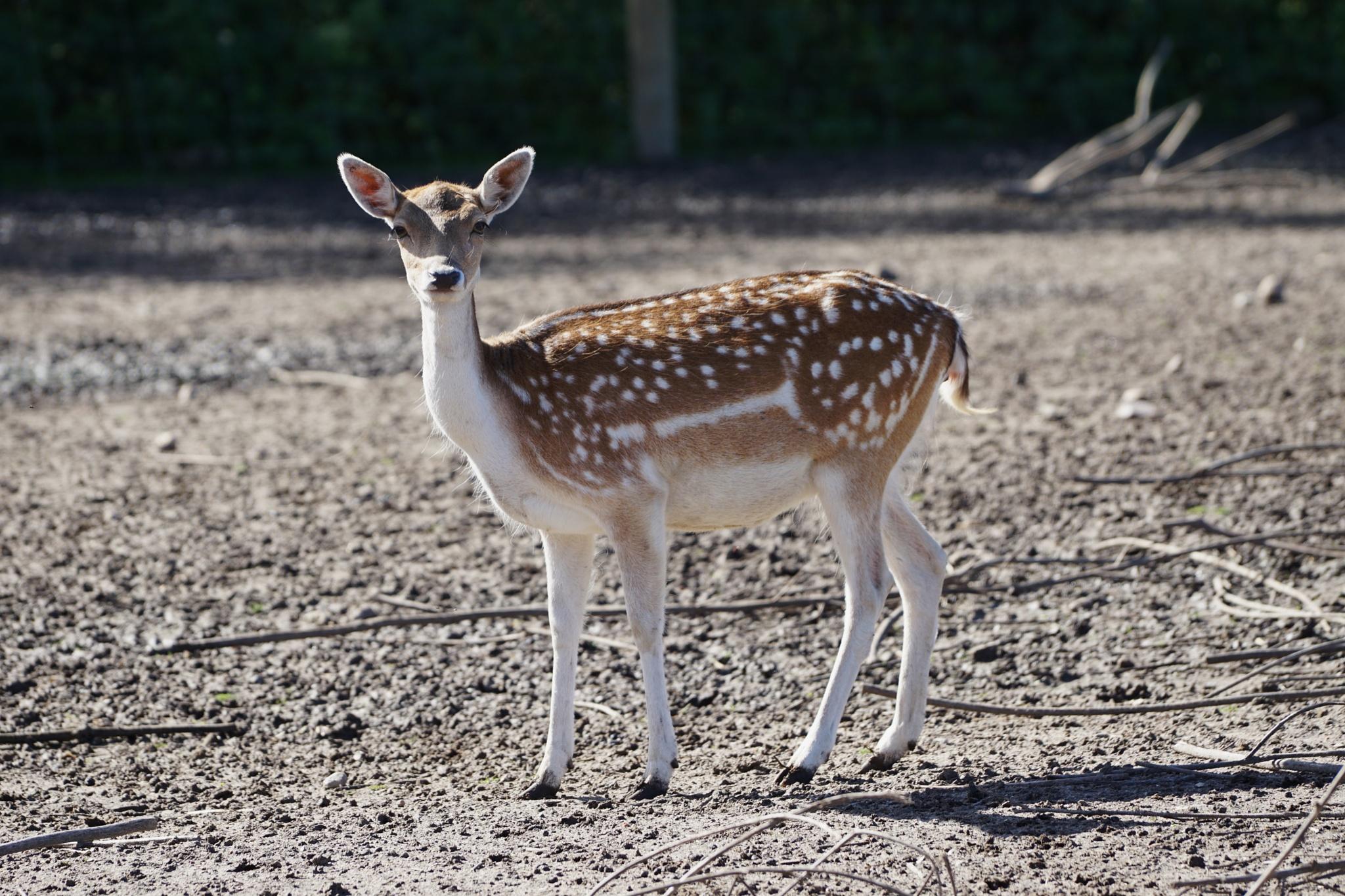 A curious deer by Dorte Hedengran