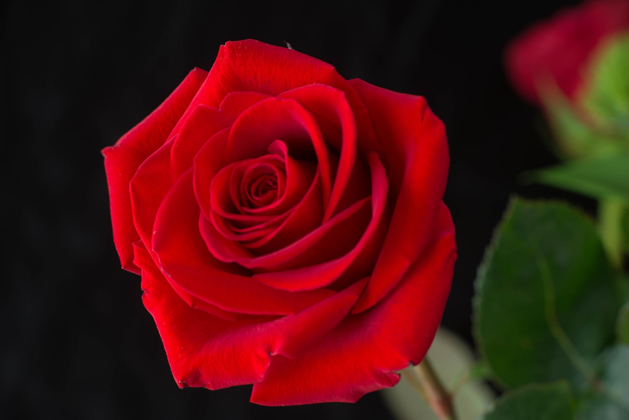 Rose by ramesh thyagarajan