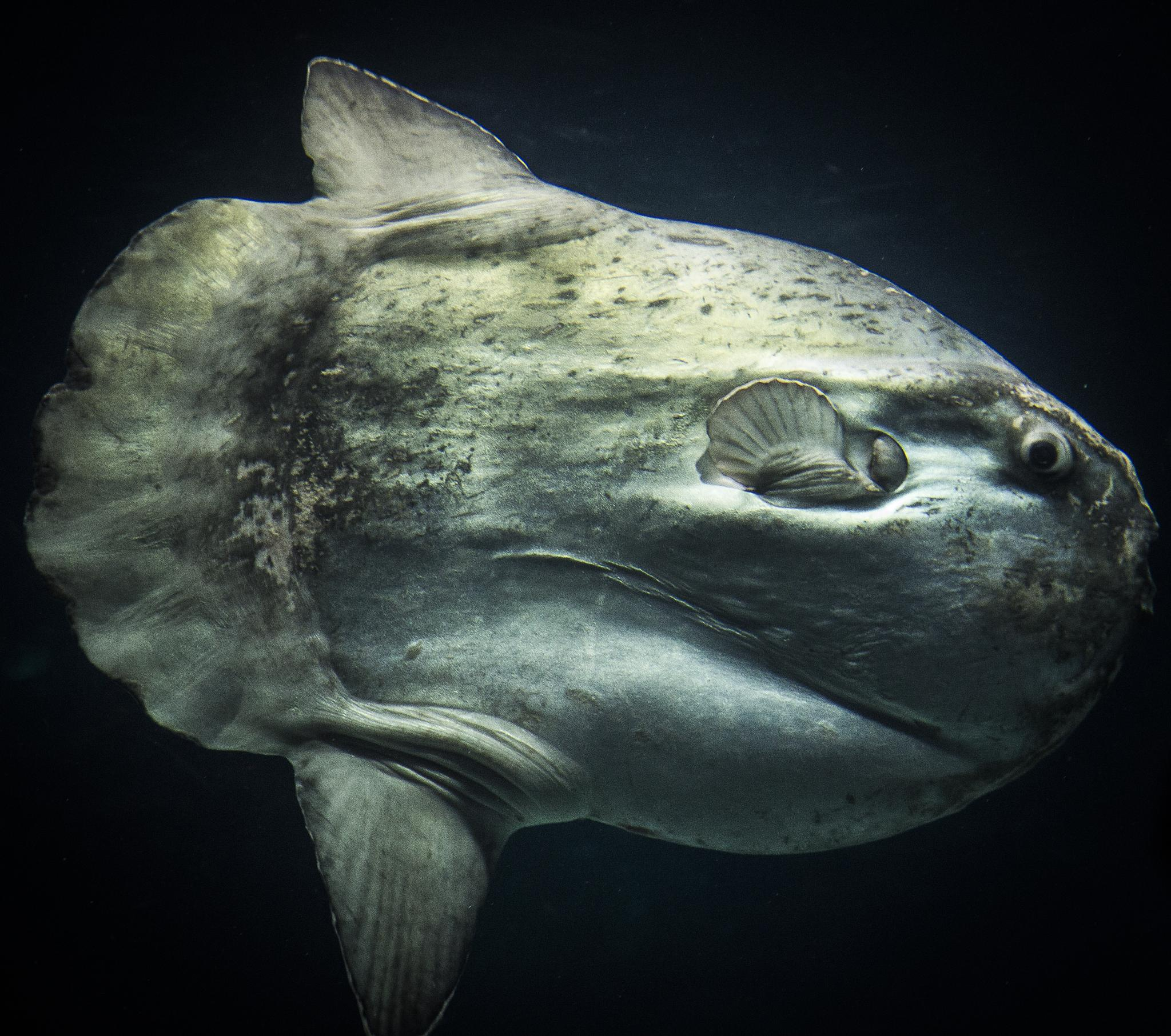 Sunfish by gerry.askefalk
