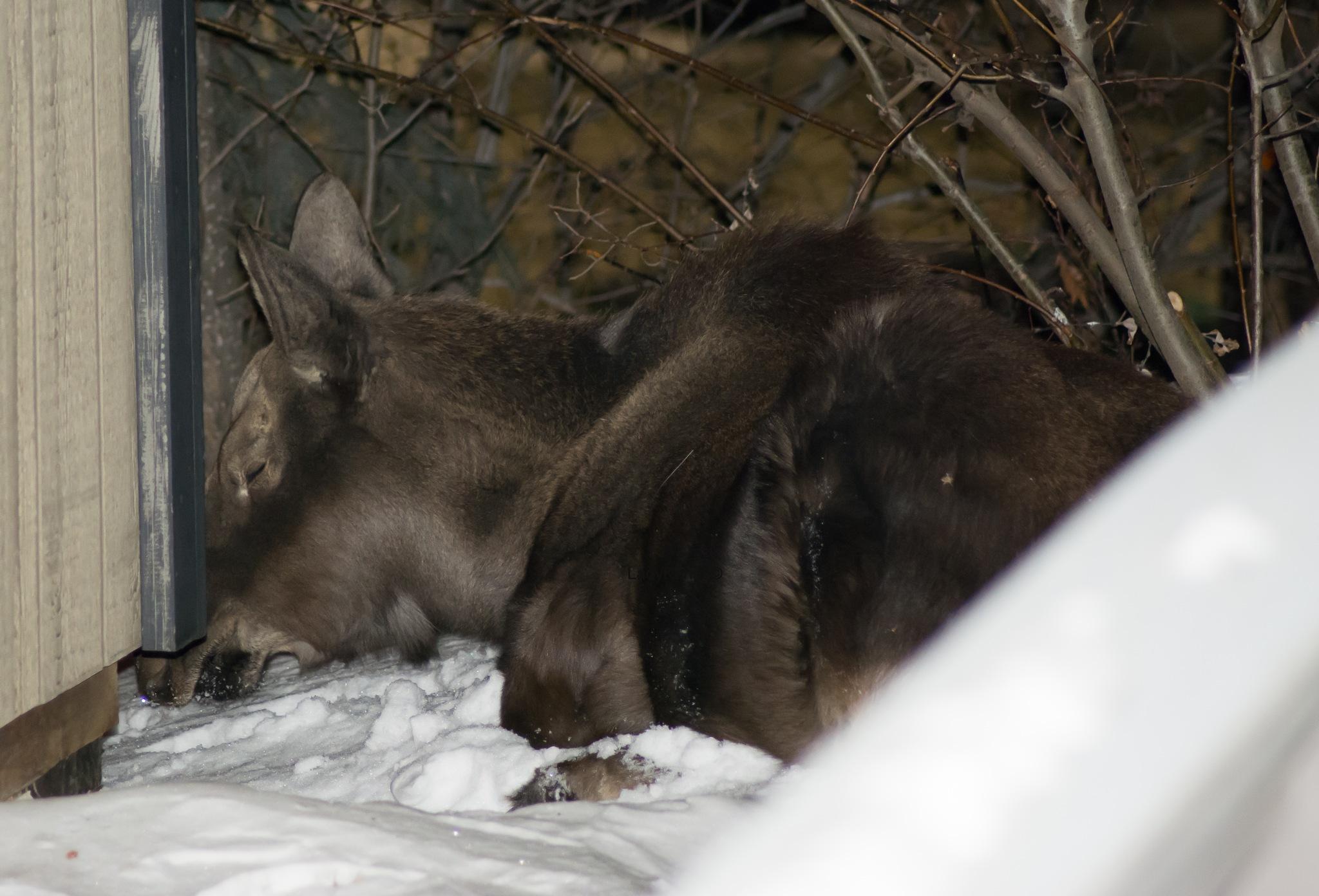 Moose snoozing by LadyKenai