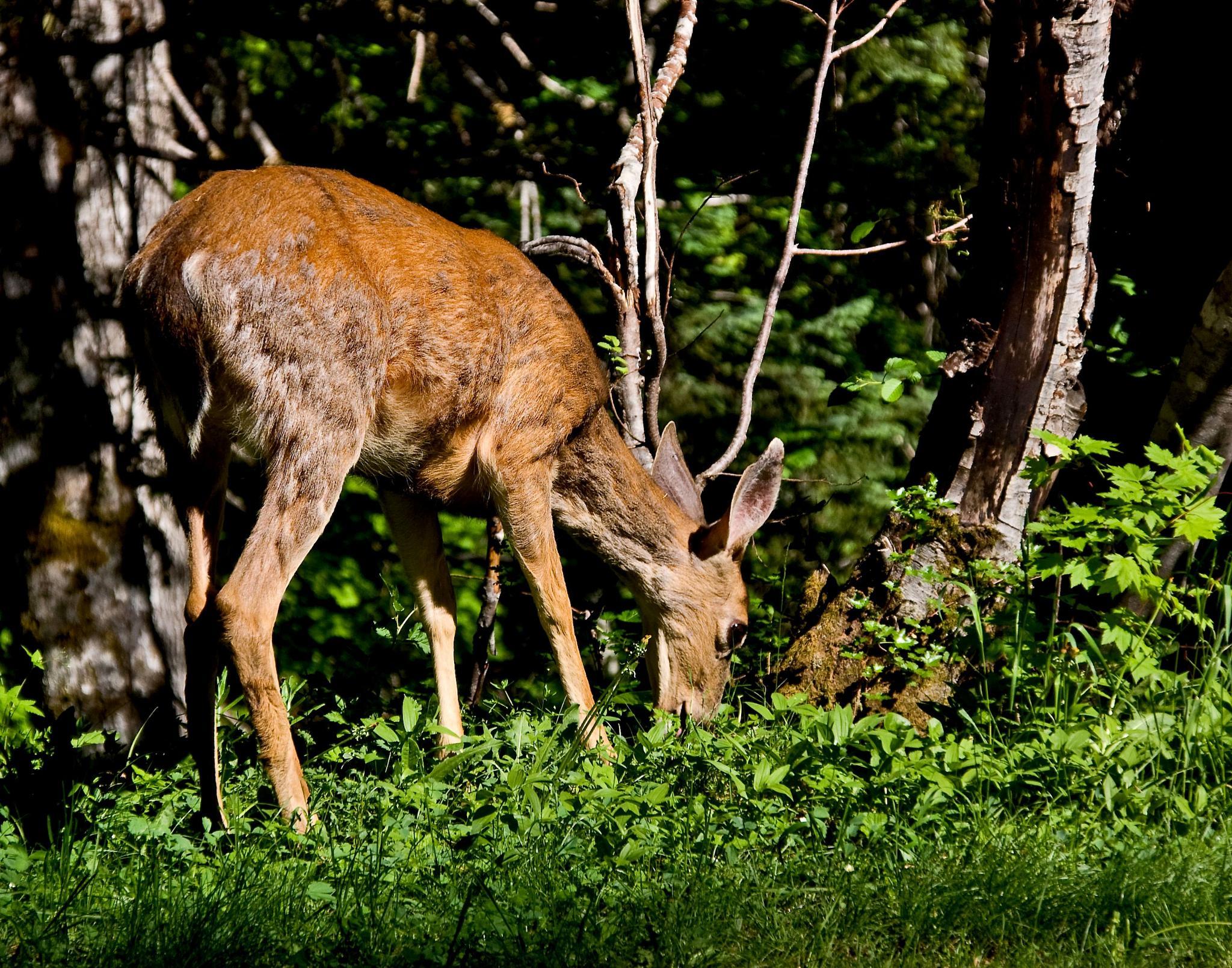 Young Deer by Brenda Hartman