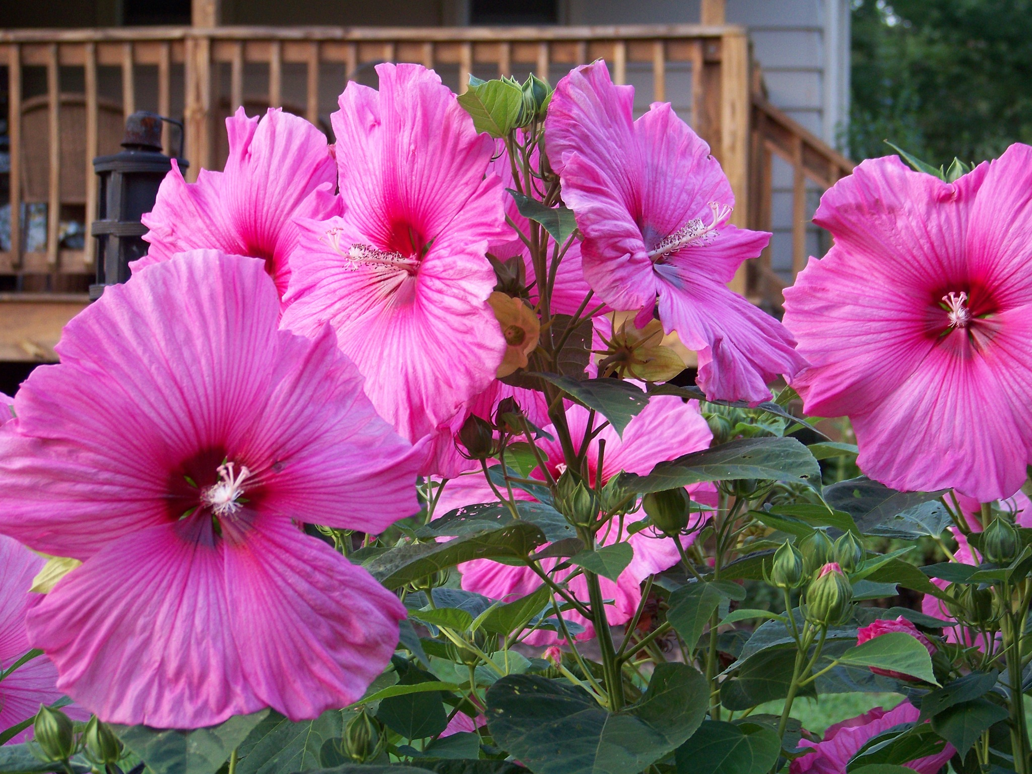 Giant Pink Hibiscus by suzanne.kohr