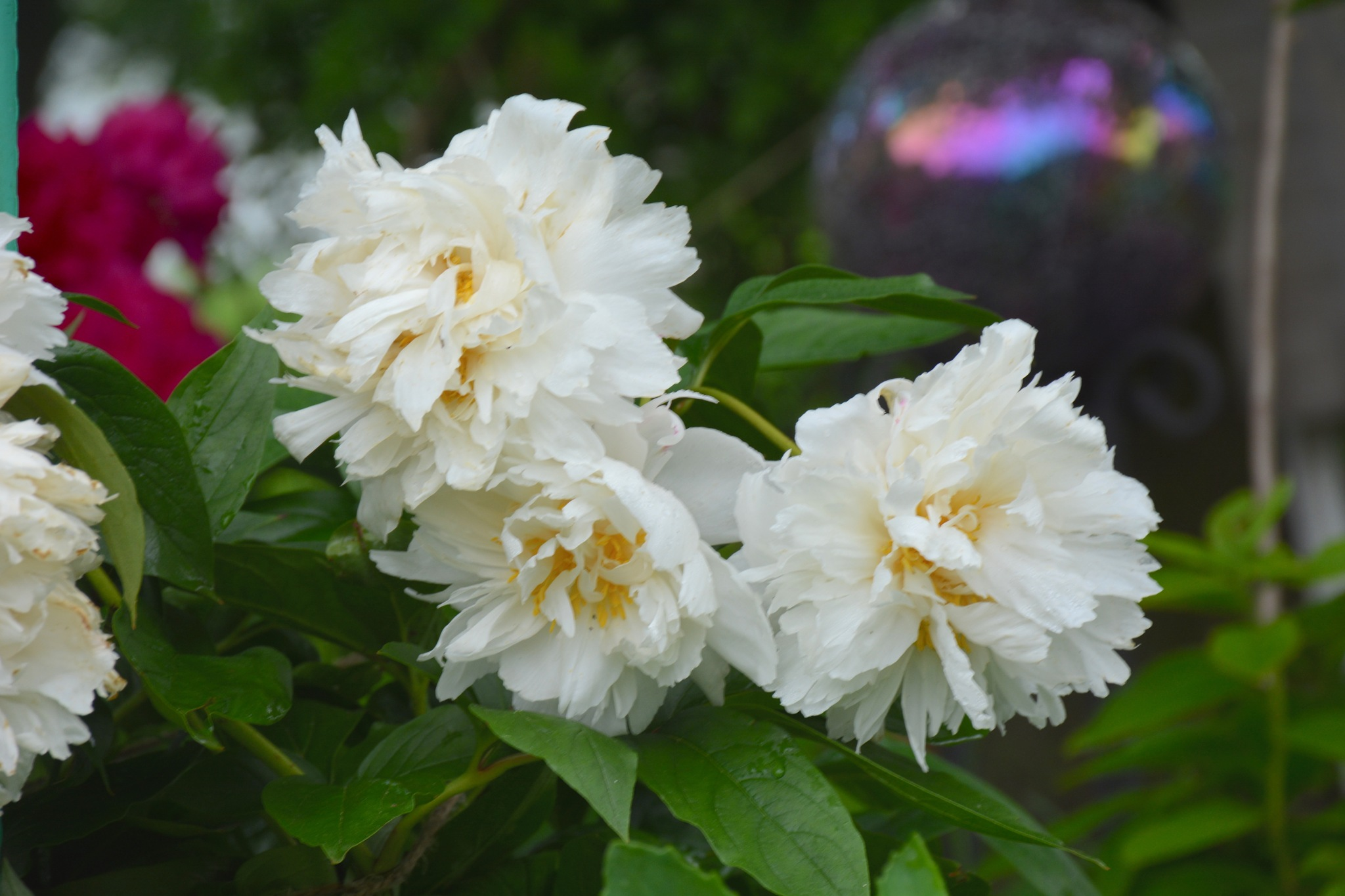 Lovely White Peonies by suzanne.kohr