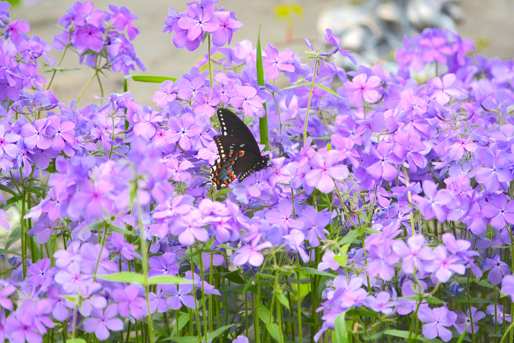 Beauty in the Phlox by suzanne.kohr