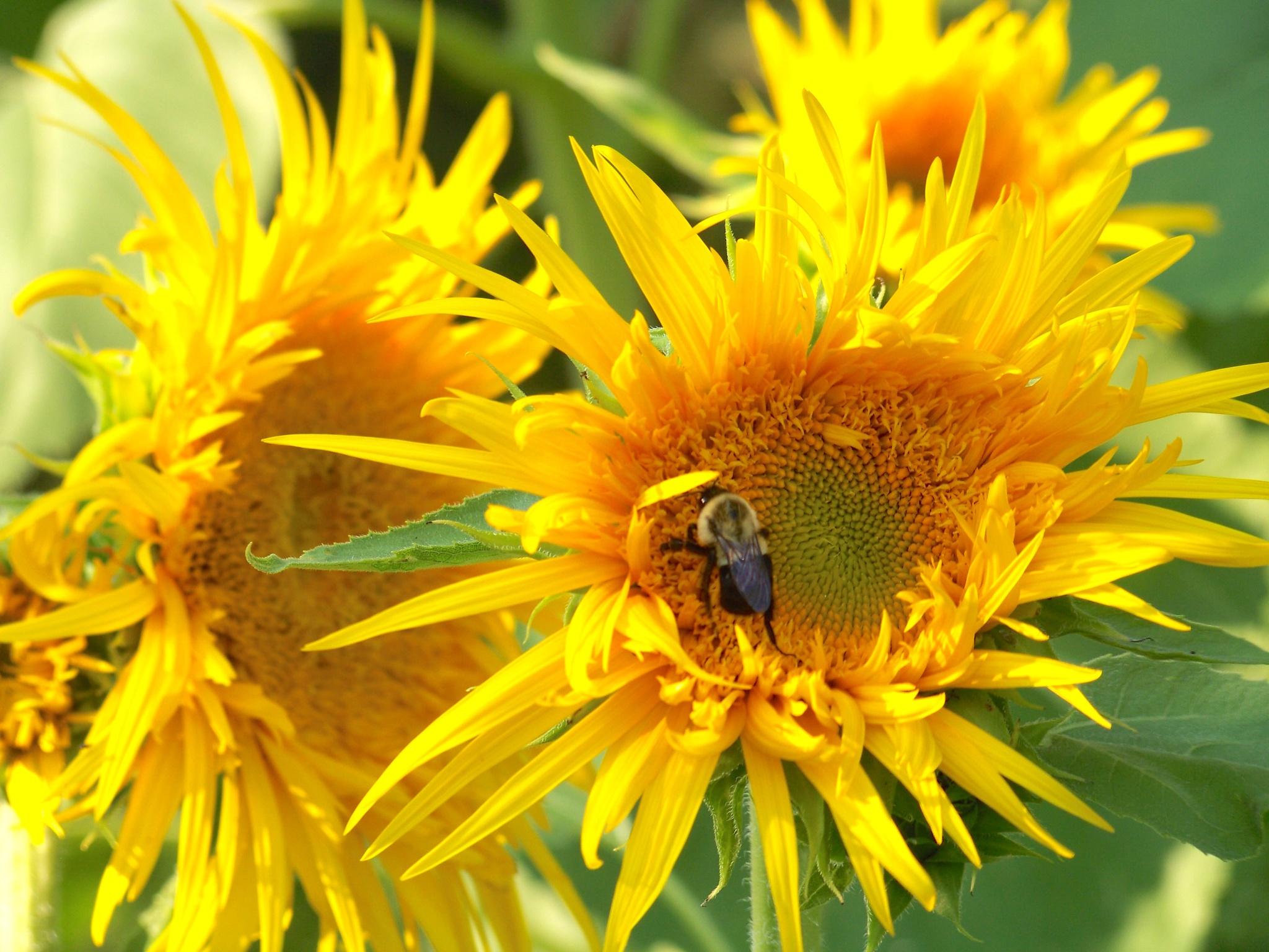 Spidery Sunflowers by suzanne.kohr