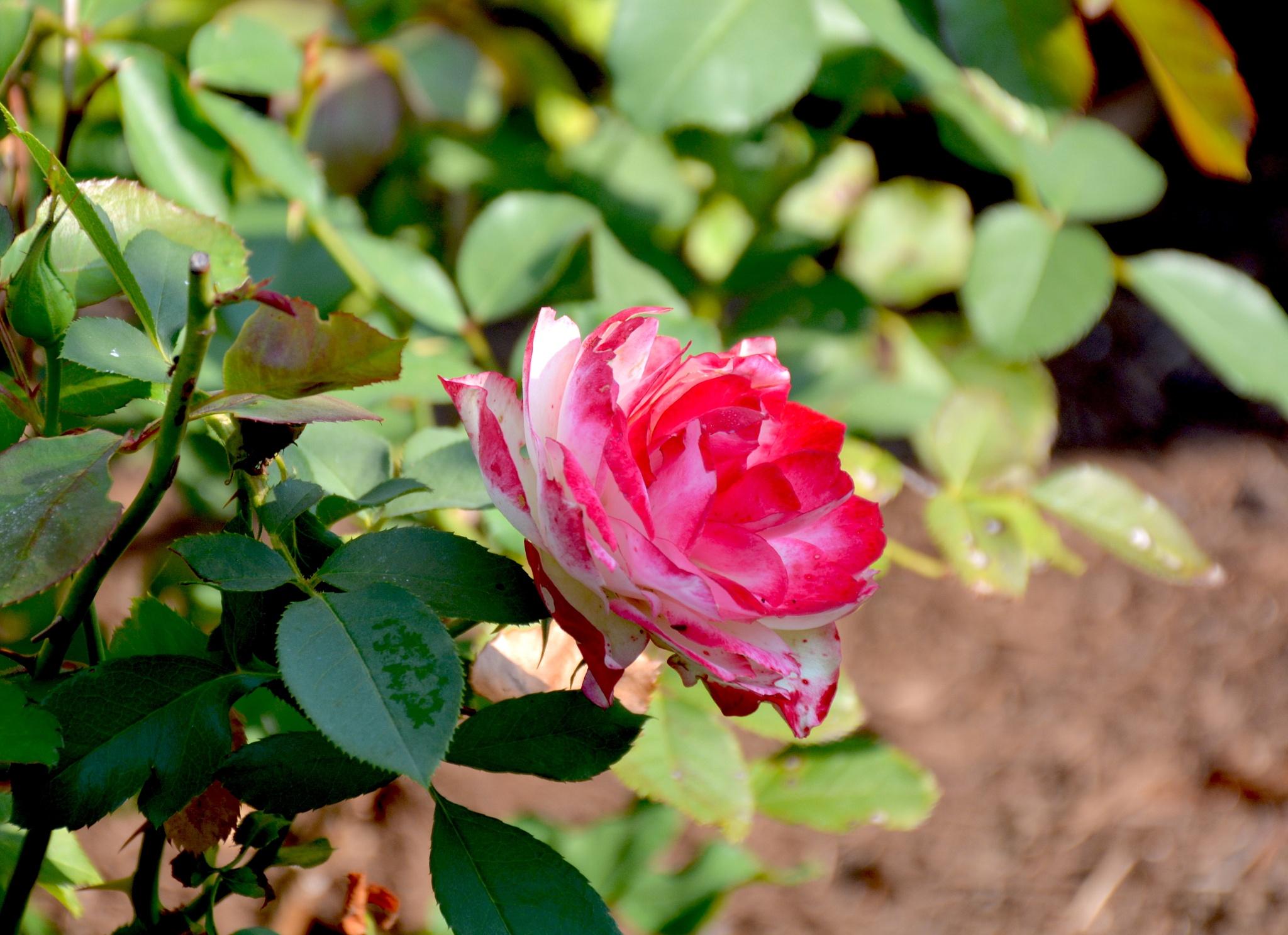 A Single Rose by suzanne.kohr