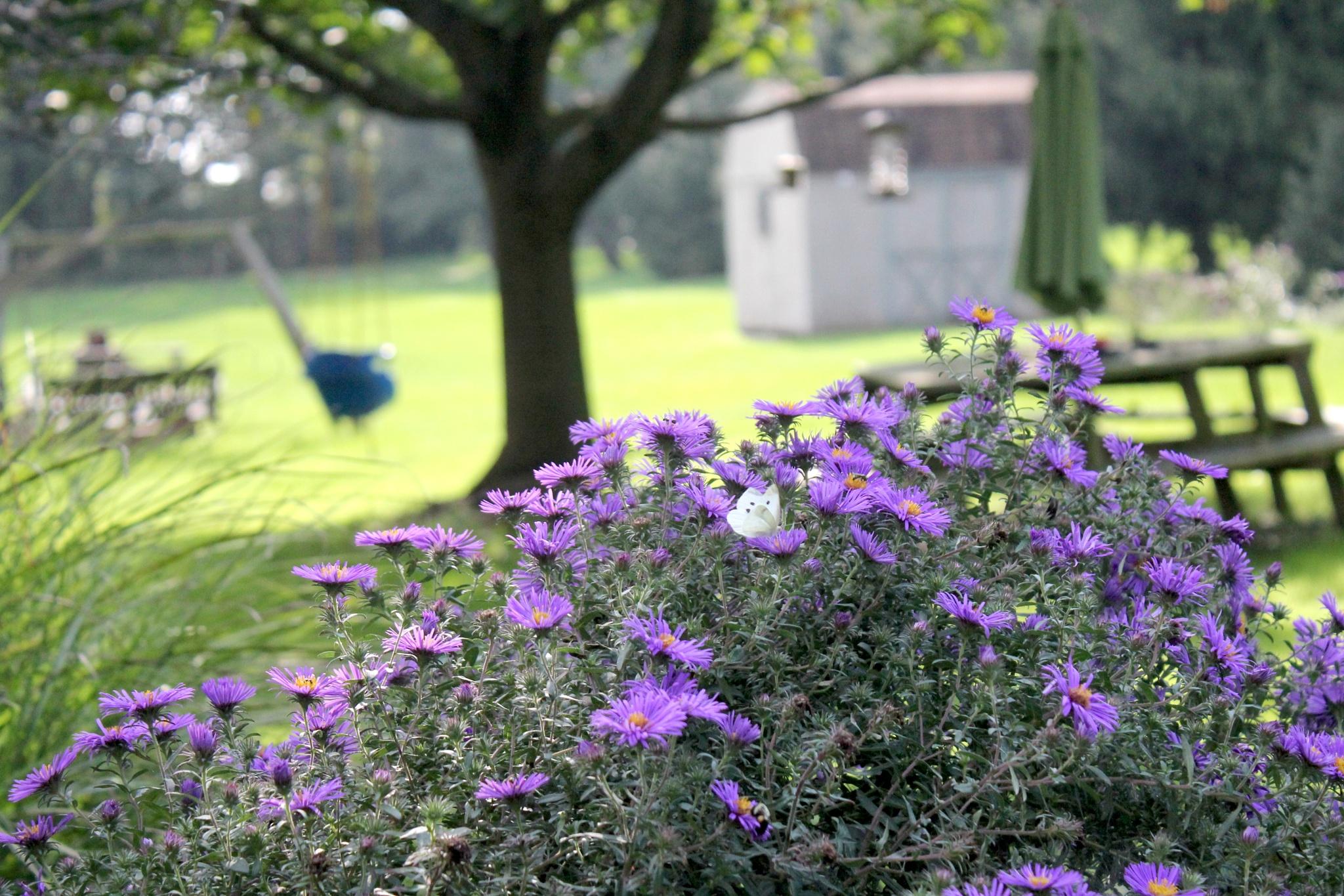 Purple Asters by suzanne.kohr