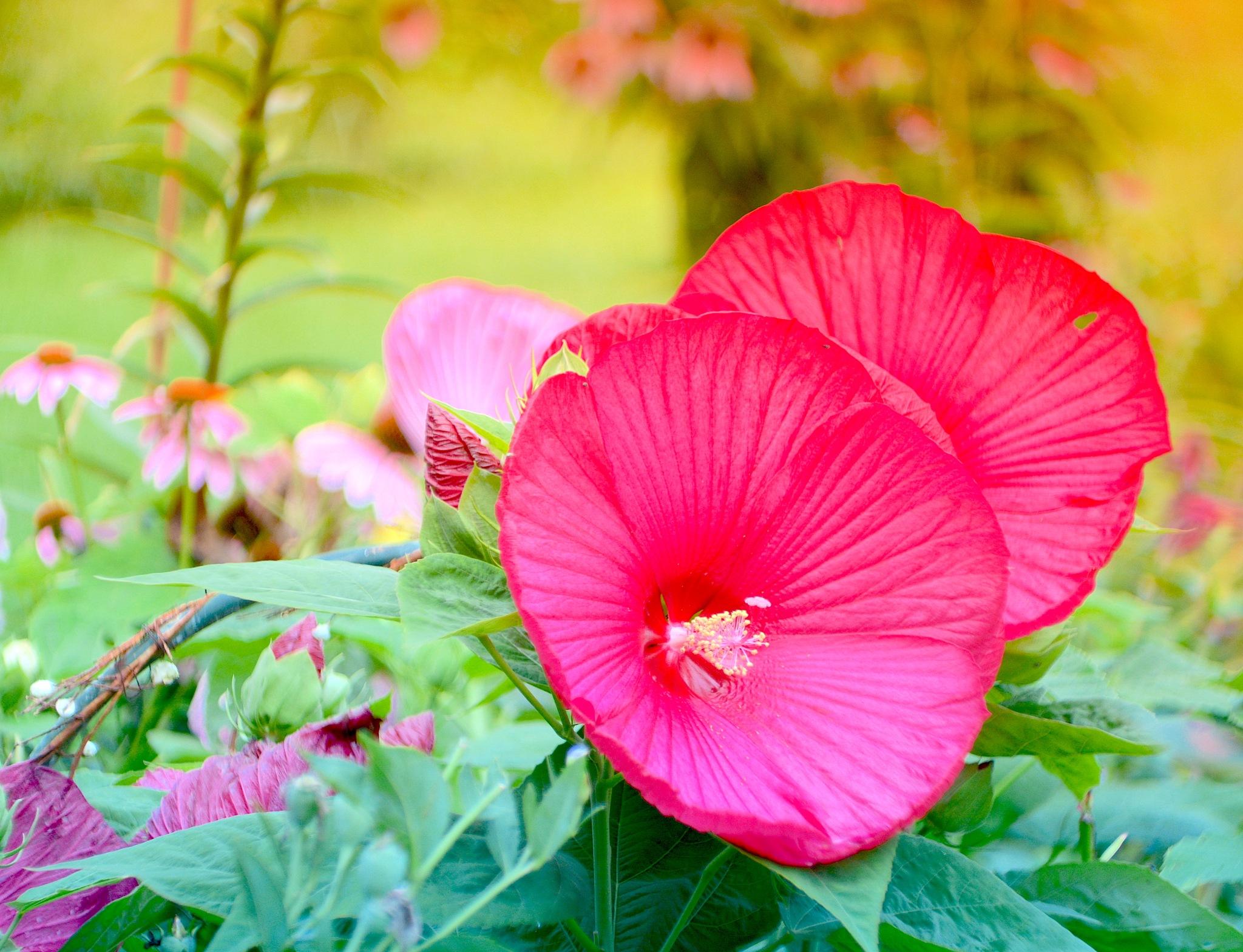 Giant Dark Pink Hibiscus by suzanne.kohr