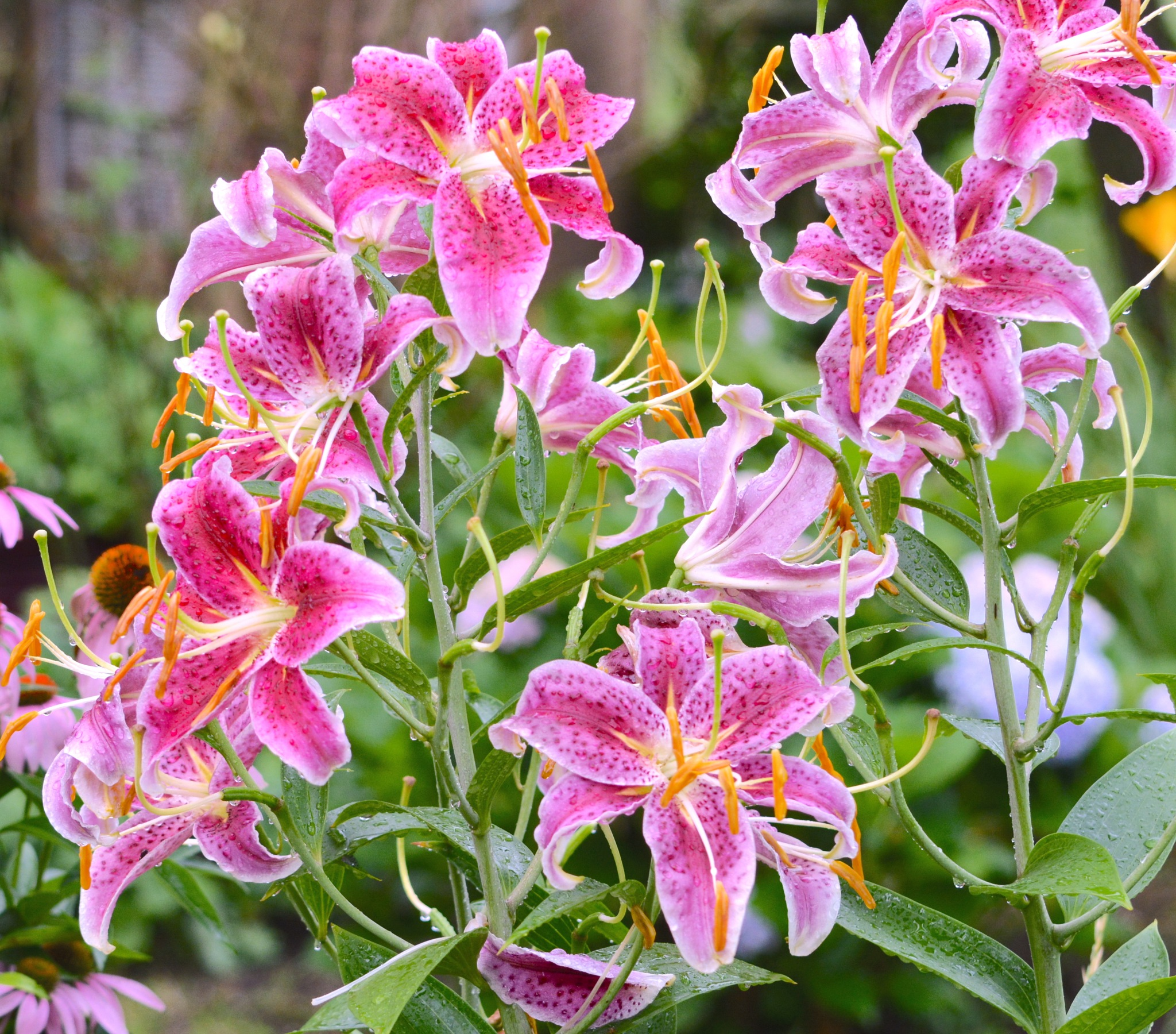 Fuchsia Oriental Lilies by suzanne.kohr