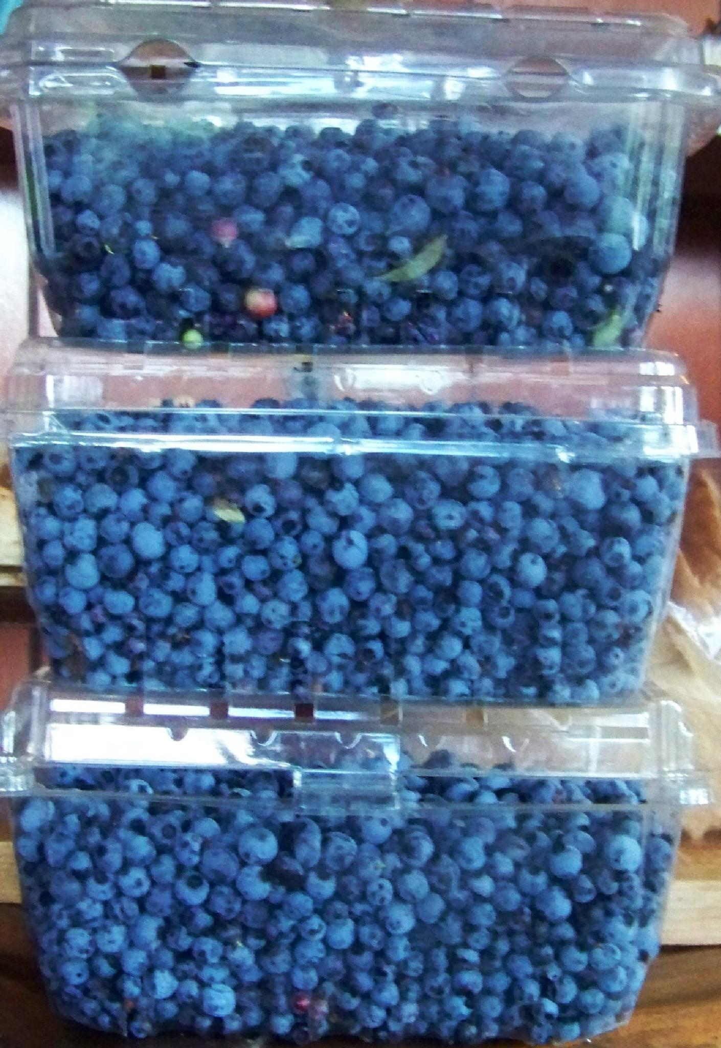 Blueberries picked by me for my pies and treats by kbgarvey