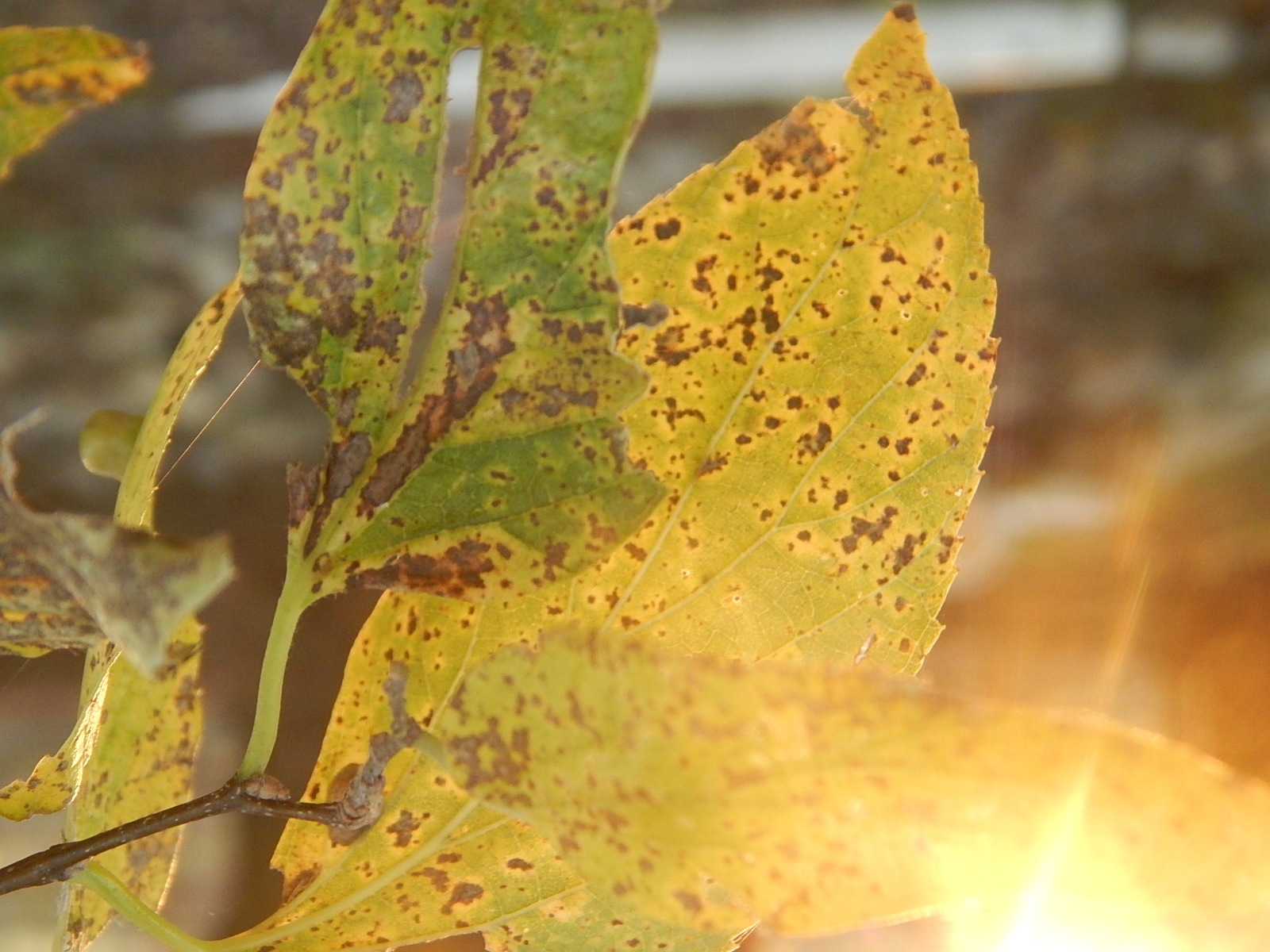 Sunset thru leaves by Marsha Furman