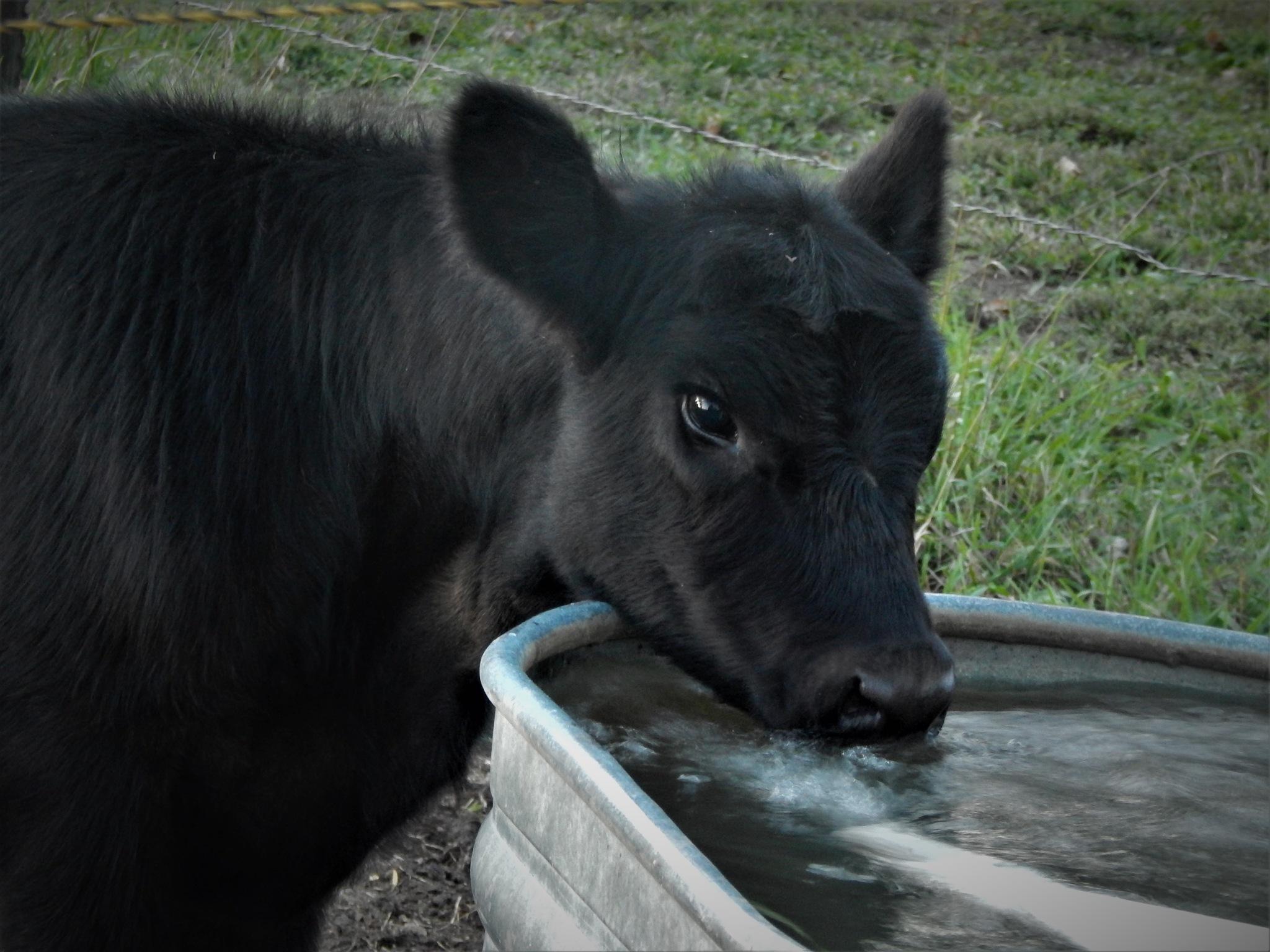 Calf by Marsha Furman
