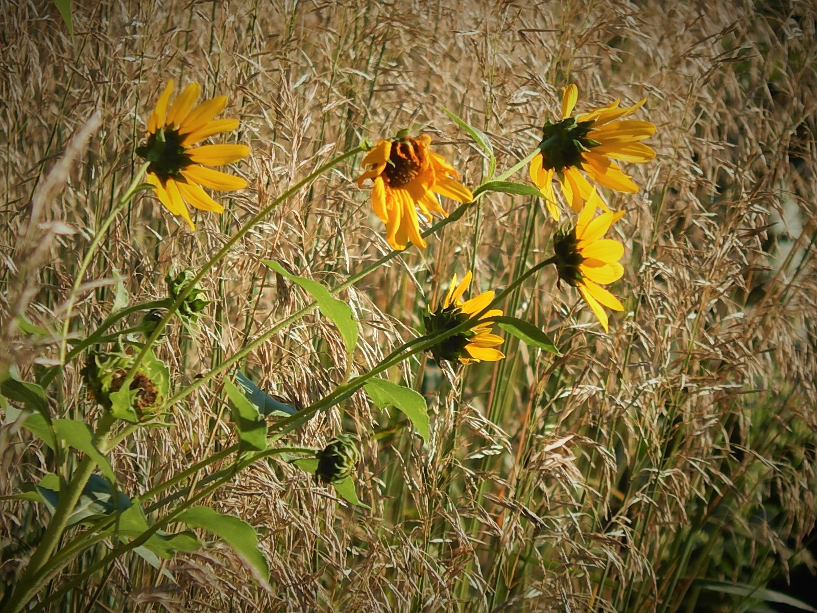 Wild sunflowers by Marsha Furman