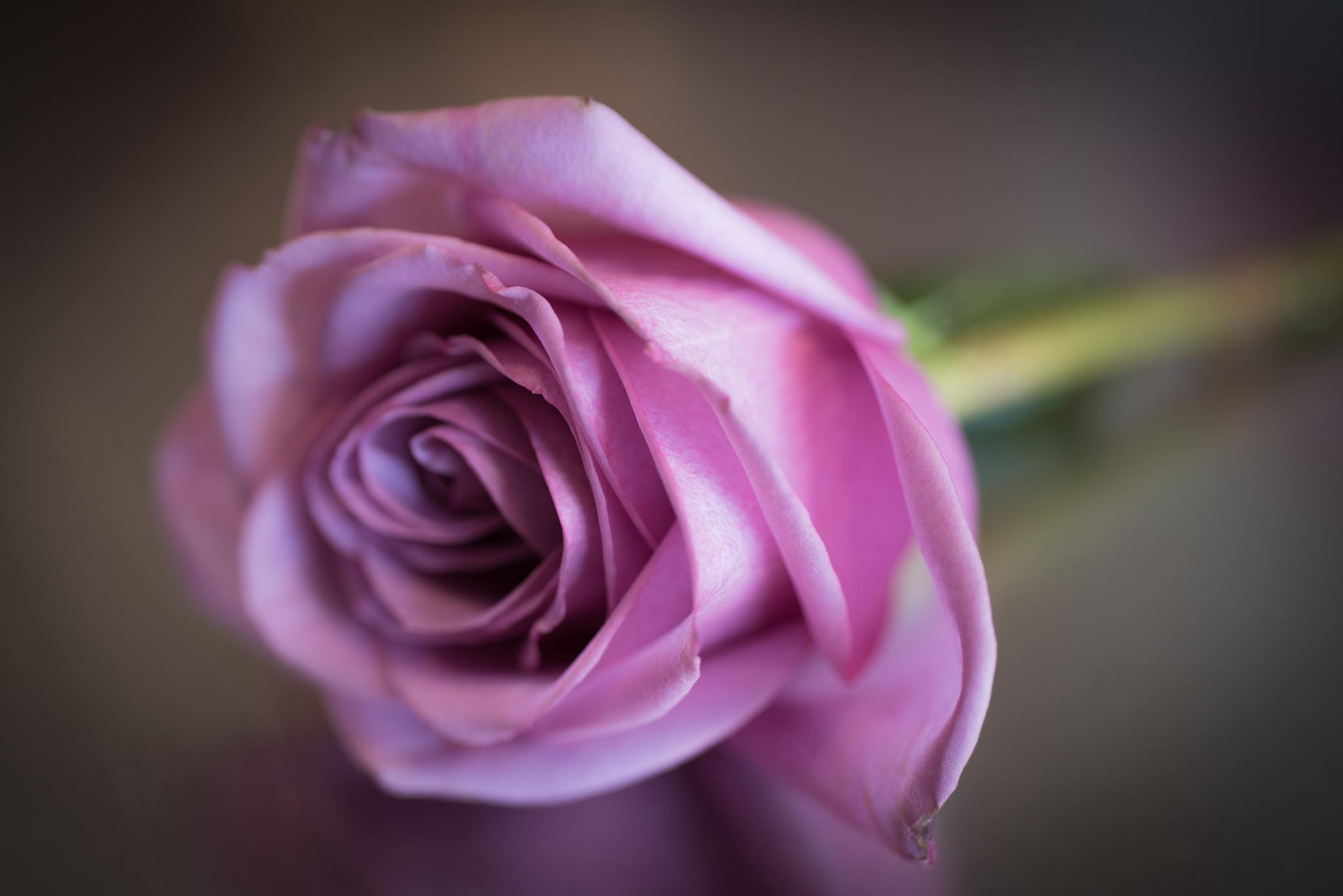 Rose by Kevin Drew Davis