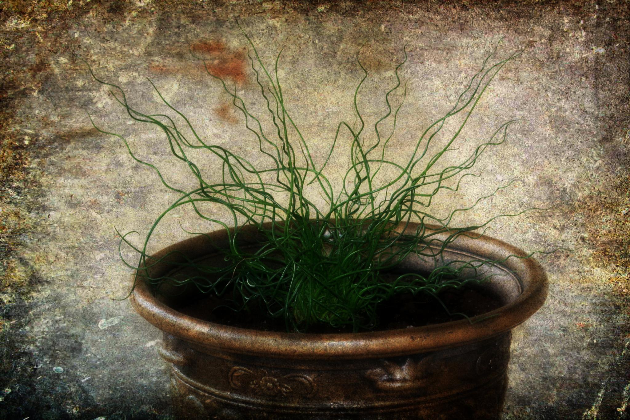 Pot of Curls by ginger.barritt