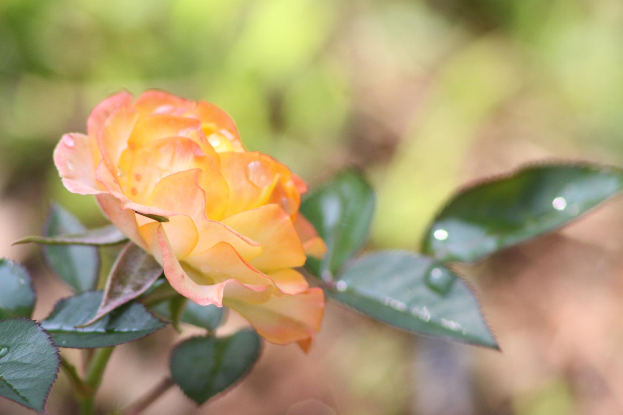 Early Morning Rose by lori.monroe.50