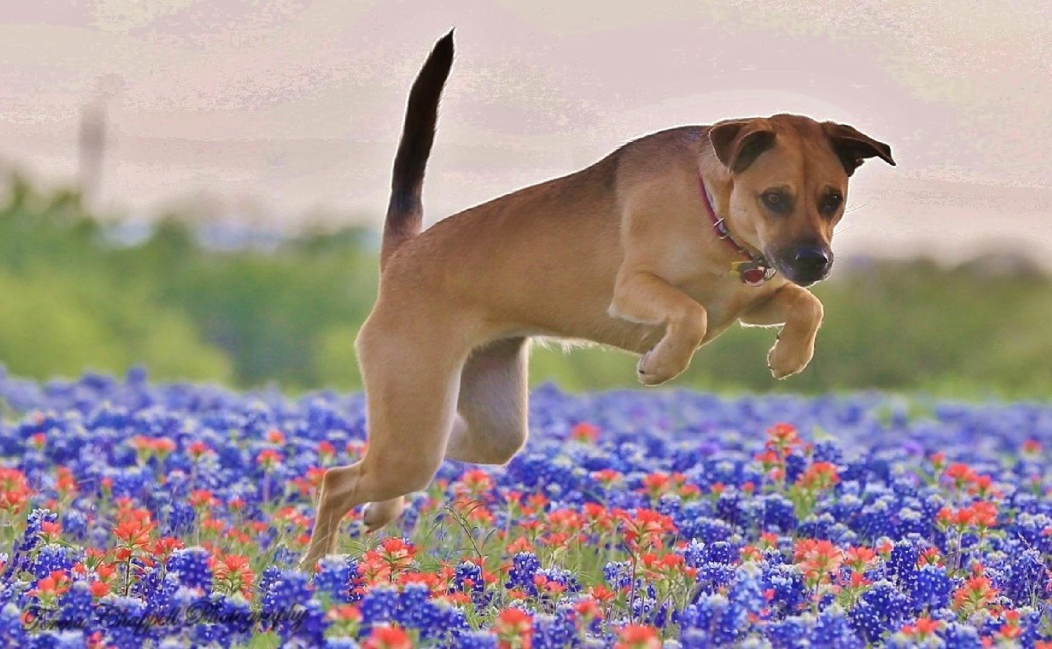 Kaluah...Bluebonnet hopping by teresachappell