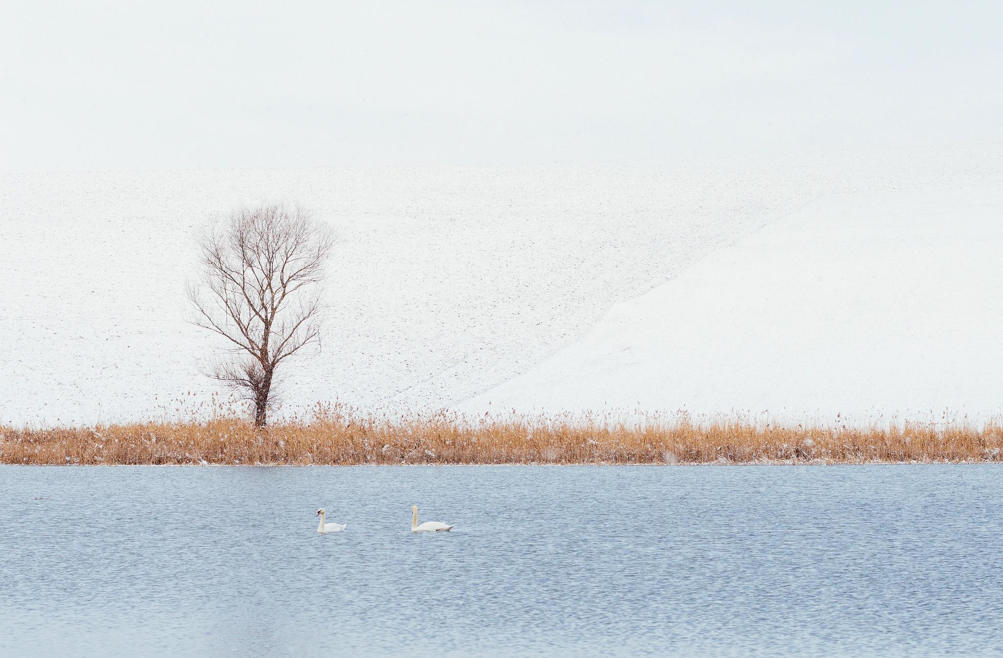 Swan lake... by Attila Farkas