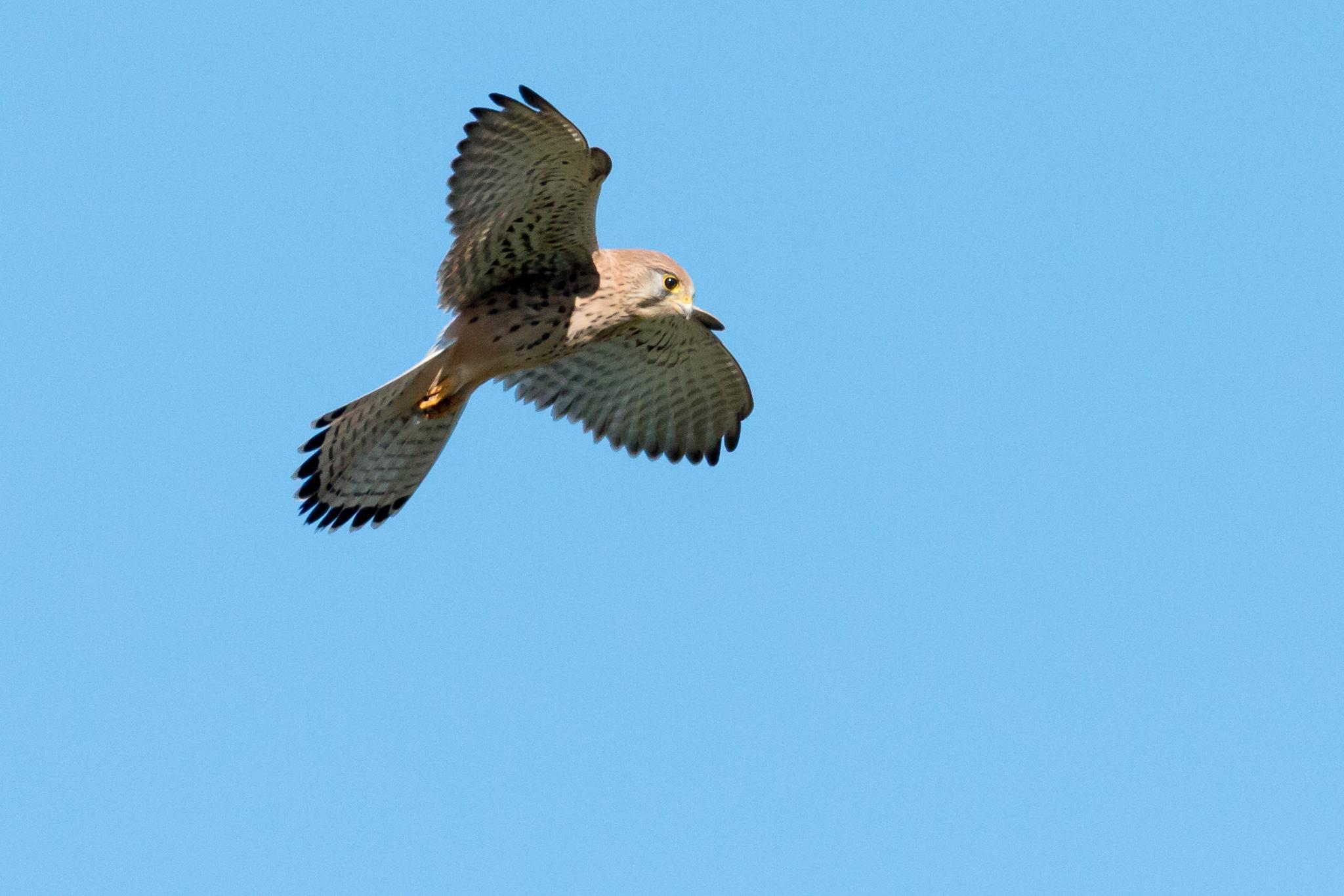Faucon crécerelle (Falco tinnunculus) by FRA298