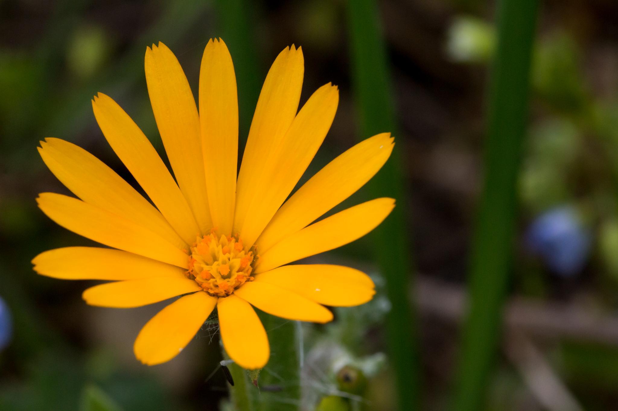 Souci des champs (Calendula arvensis) by FRA298
