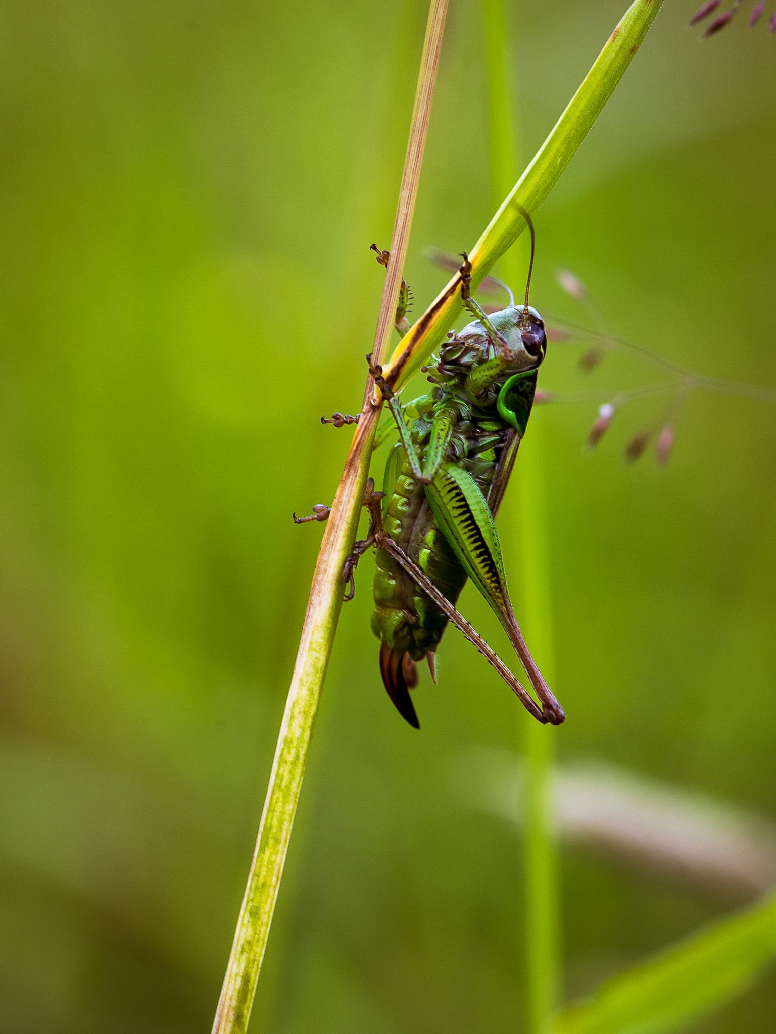 Metrioptera roeselii by Fotojocke