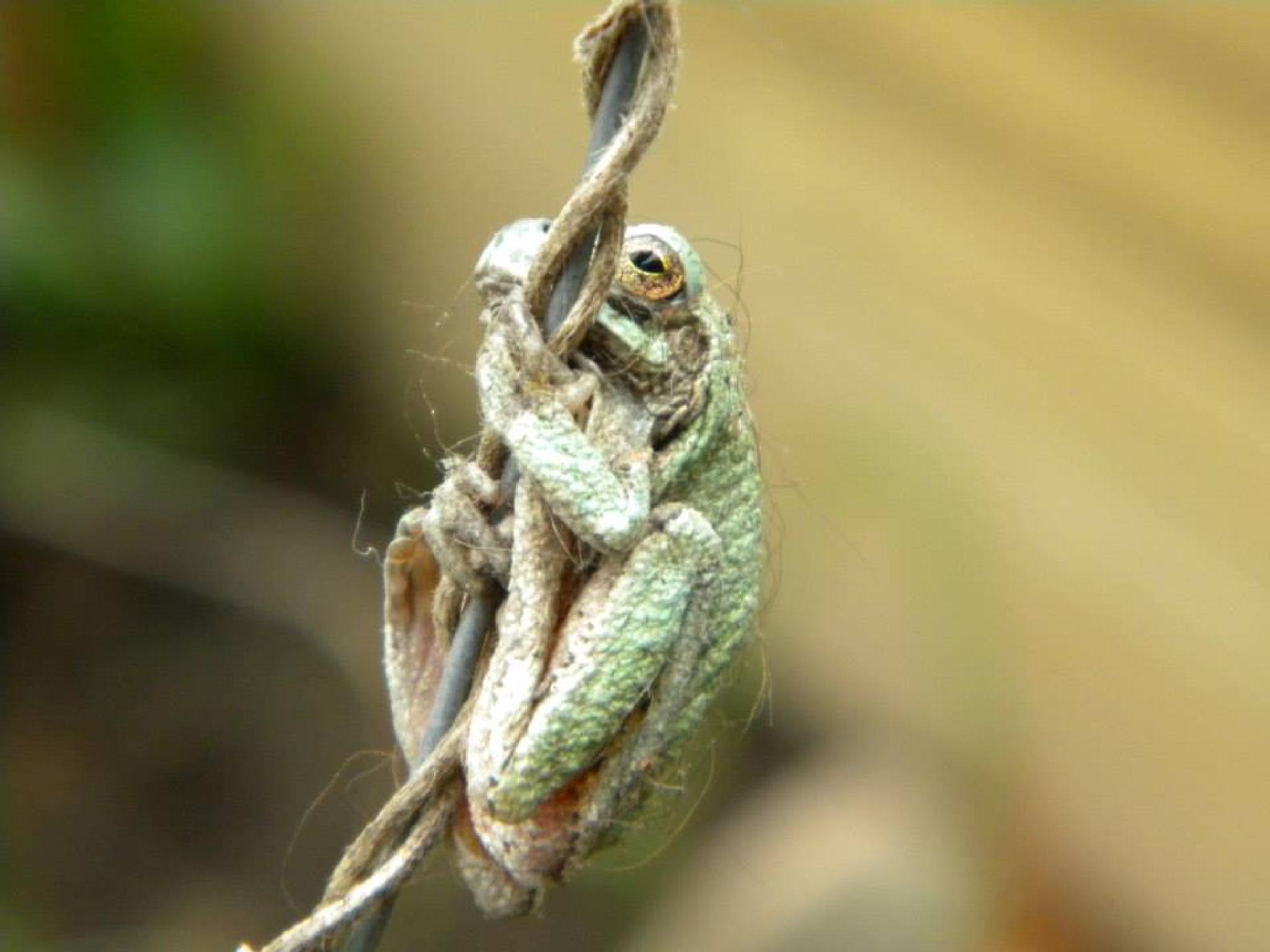 Hairy Little Frog by Trish Kraemer