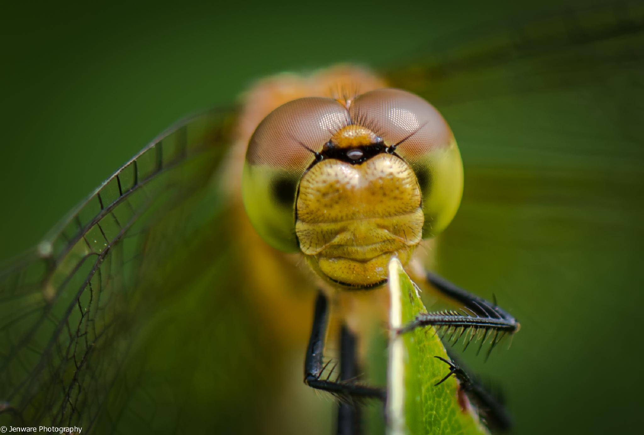 Dragonfly by Jenware Photography
