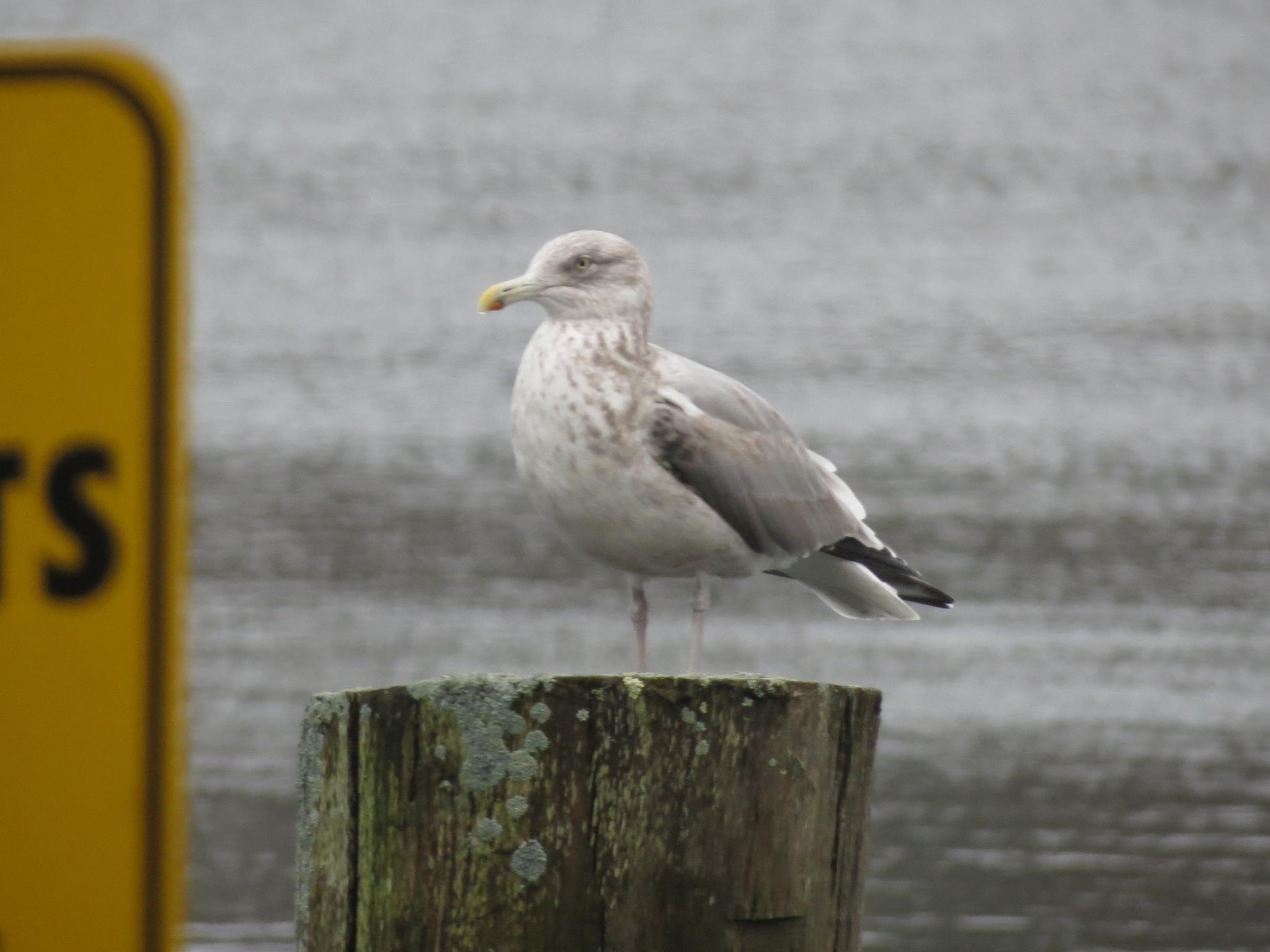 young seagull sitting by sherry