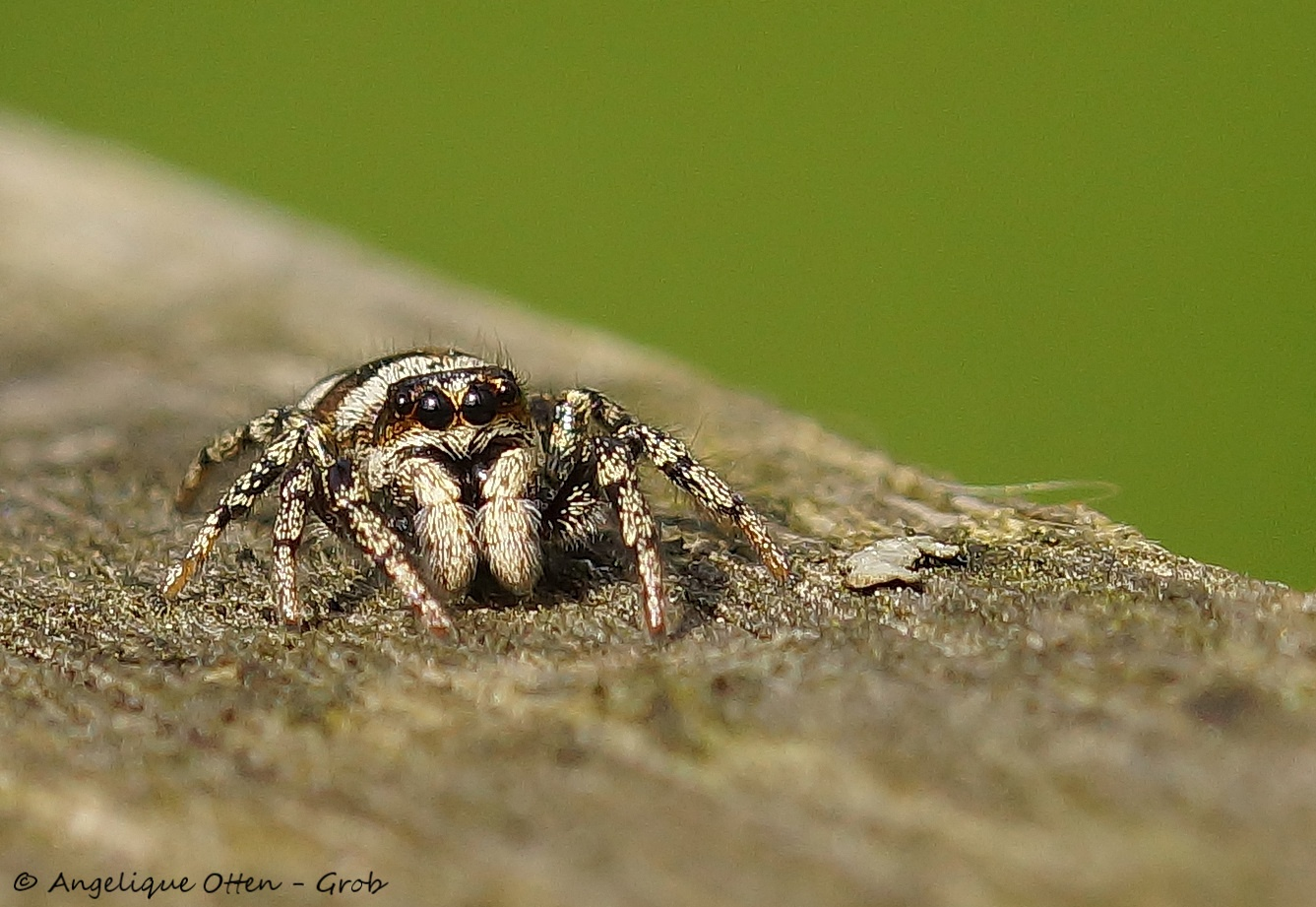 Jumping spider by Angelique Otten - Grob