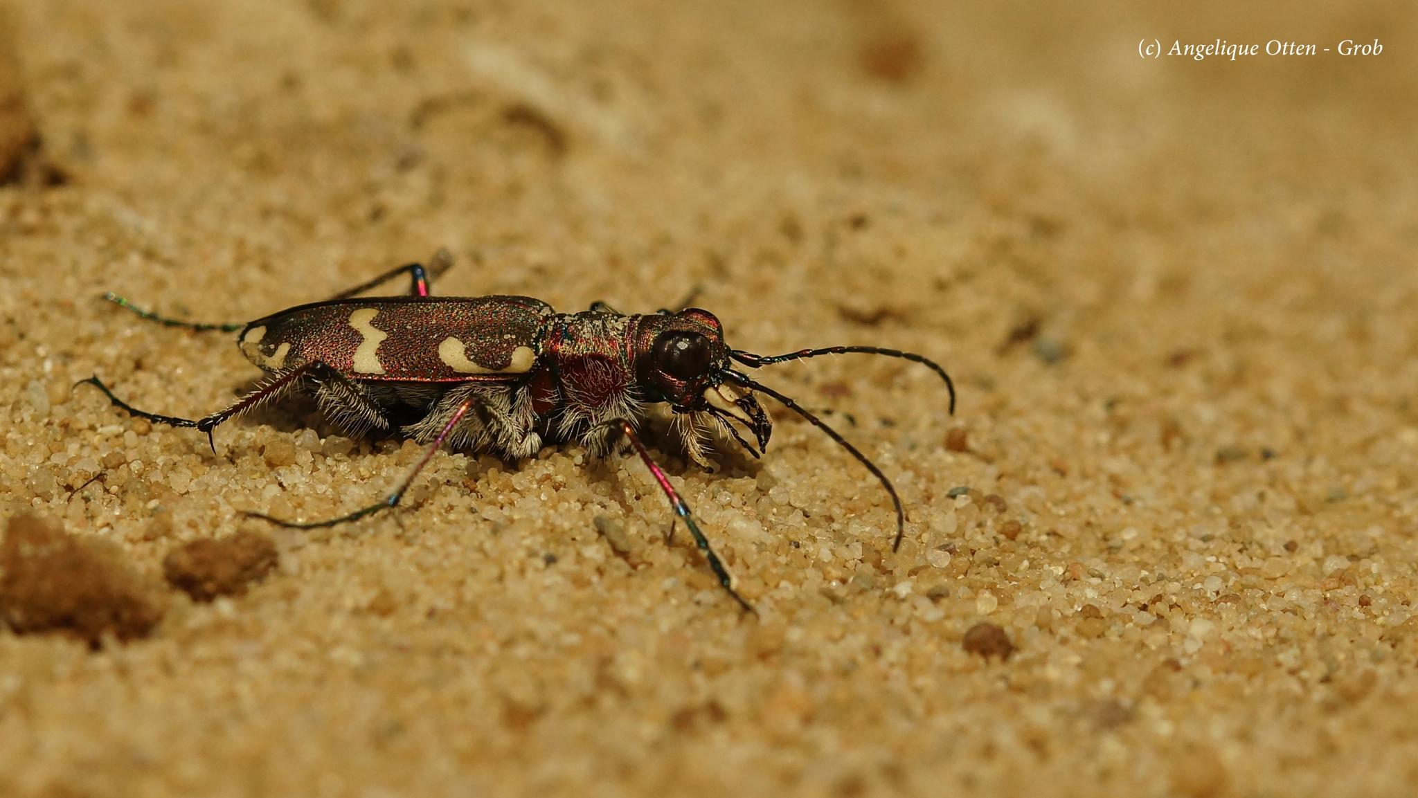 Northern dune tiger beetle by Angelique Otten - Grob