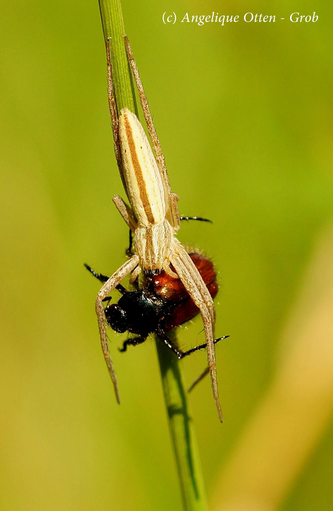 Having dinner... Spider vs beetle by Angelique Otten - Grob